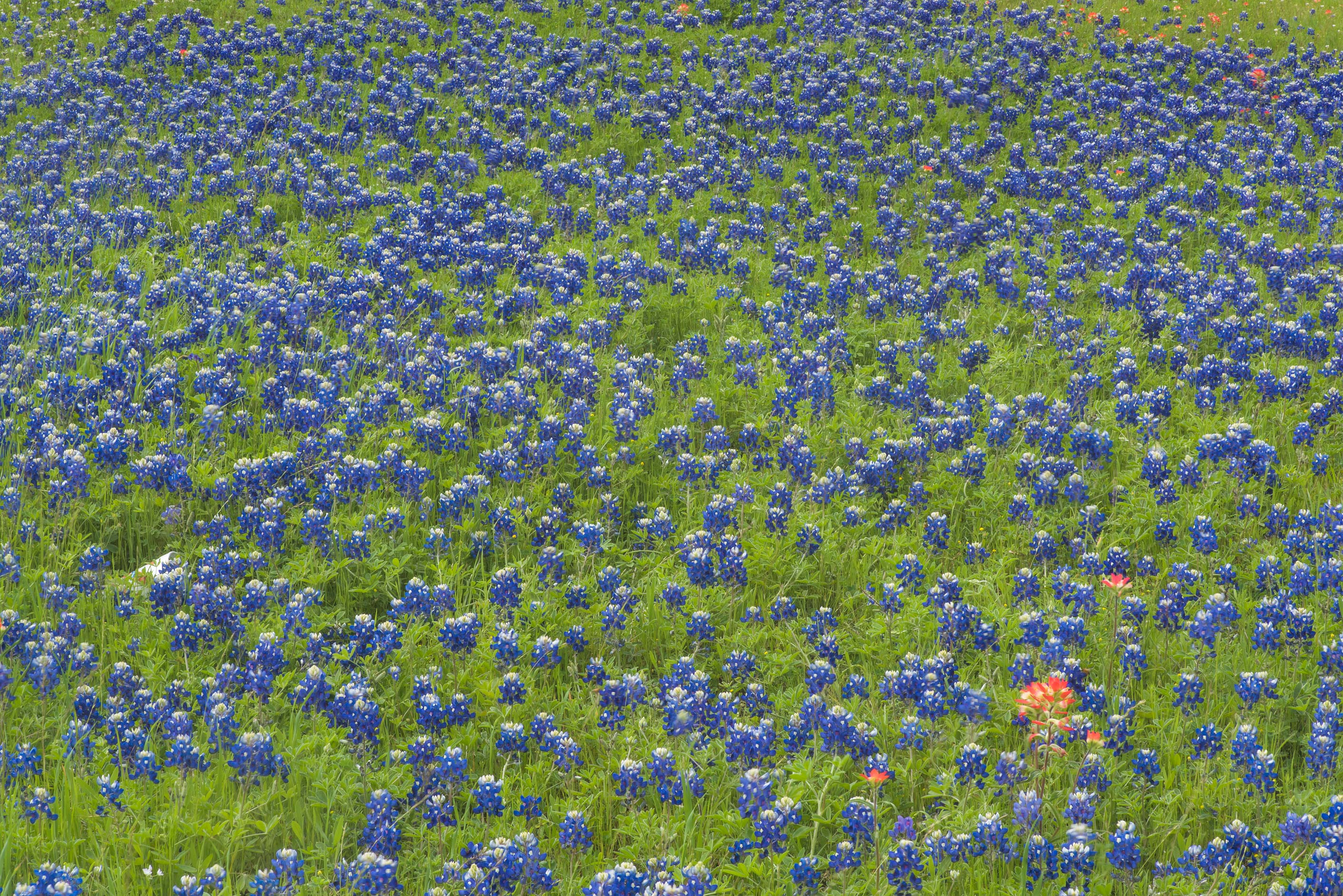 Flowers of bluebonnet (Lupinus) in Old Baylor Park. Independence, Texas