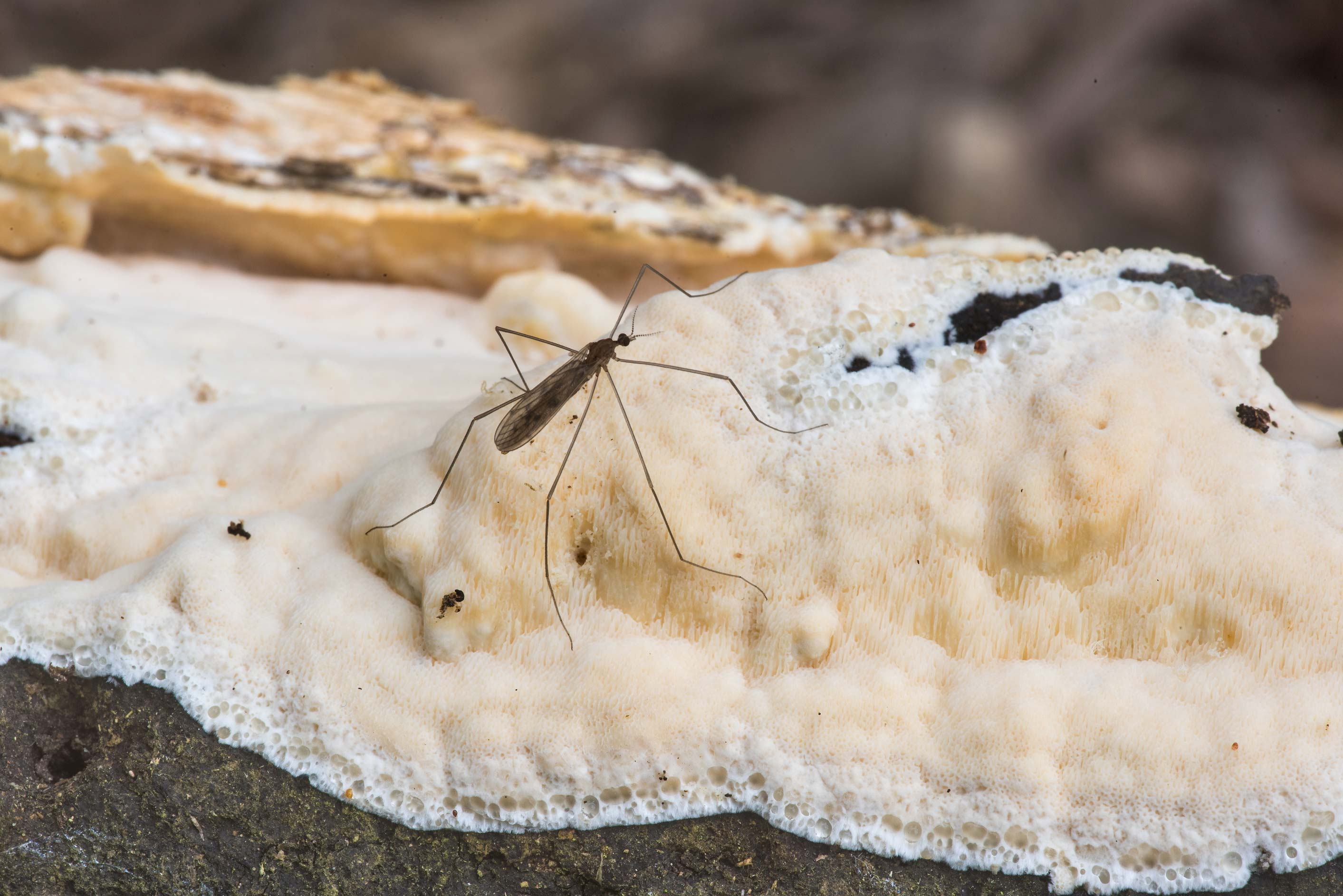 Mosquito on a resupinate polypore mushroom of a...Creek Park. College Station, Texas