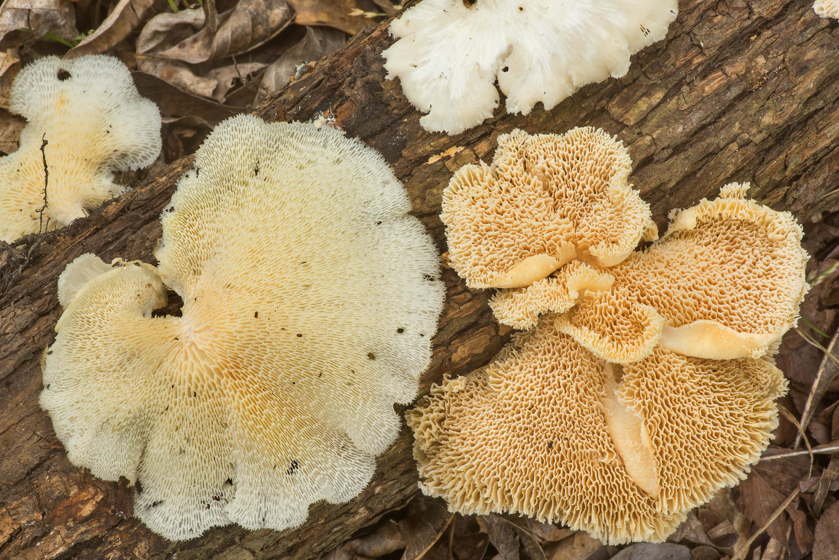 Underside of a tropical white polypore mushroom...Creek Park. College Station, Texas