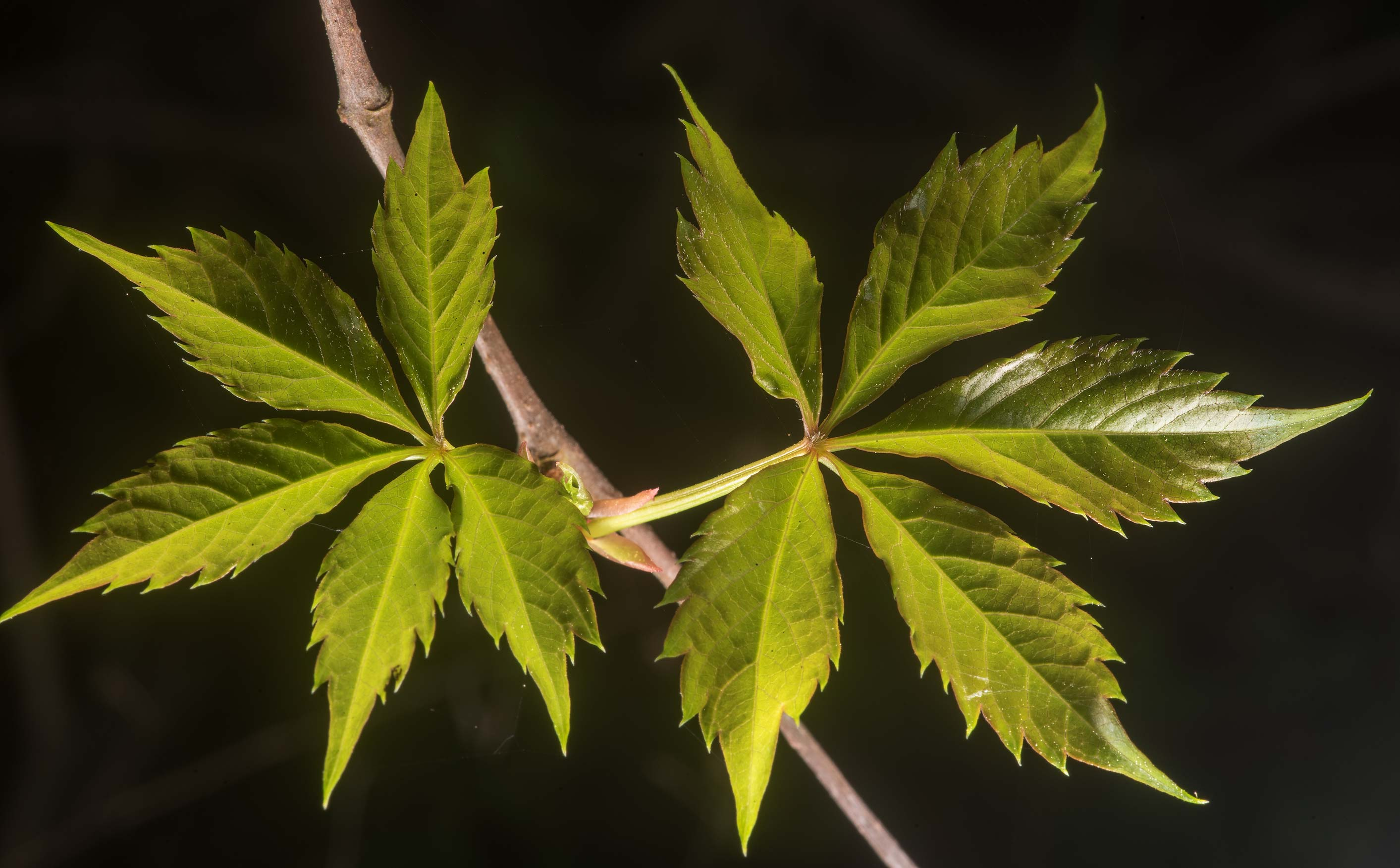 Fresh leaves of Virginia creeper on Richards Loop...in Sam Houston National Forest. Texas