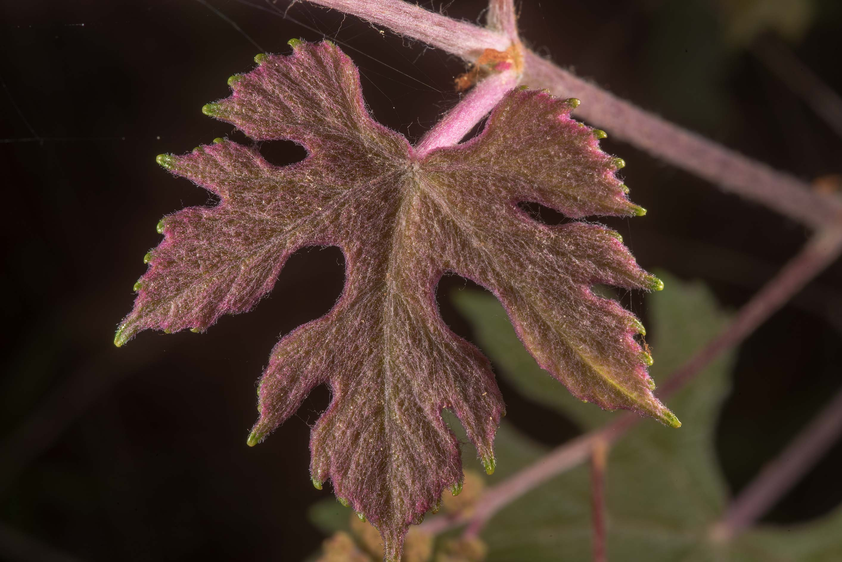 Young lobed leaf of mustang grape (Vitis...in Sam Houston National Forest. Texas