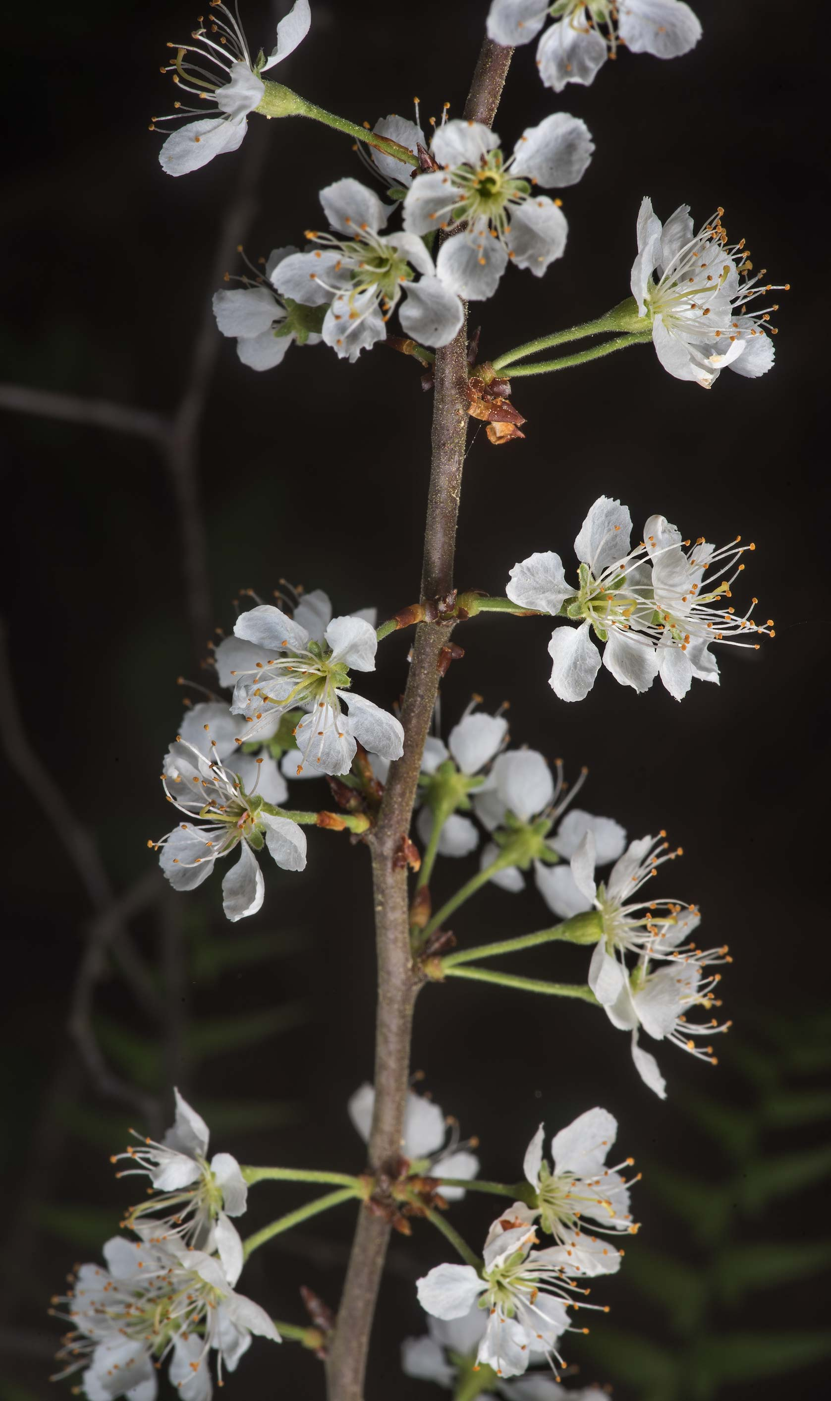 Blooming hawthorn on Richards Loop Trail in Sam Houston National Forest. Texas