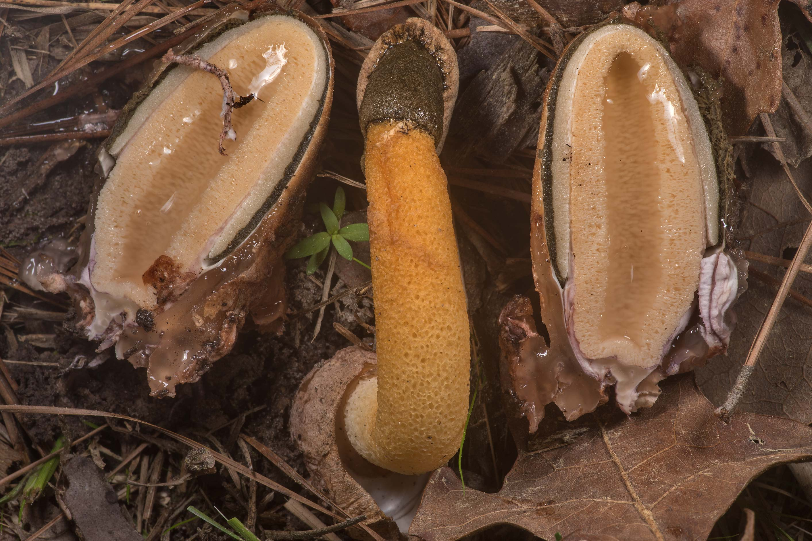 Cross section of Golden stinkhorn mushrooms...in Sam Houston National Forest. Texas