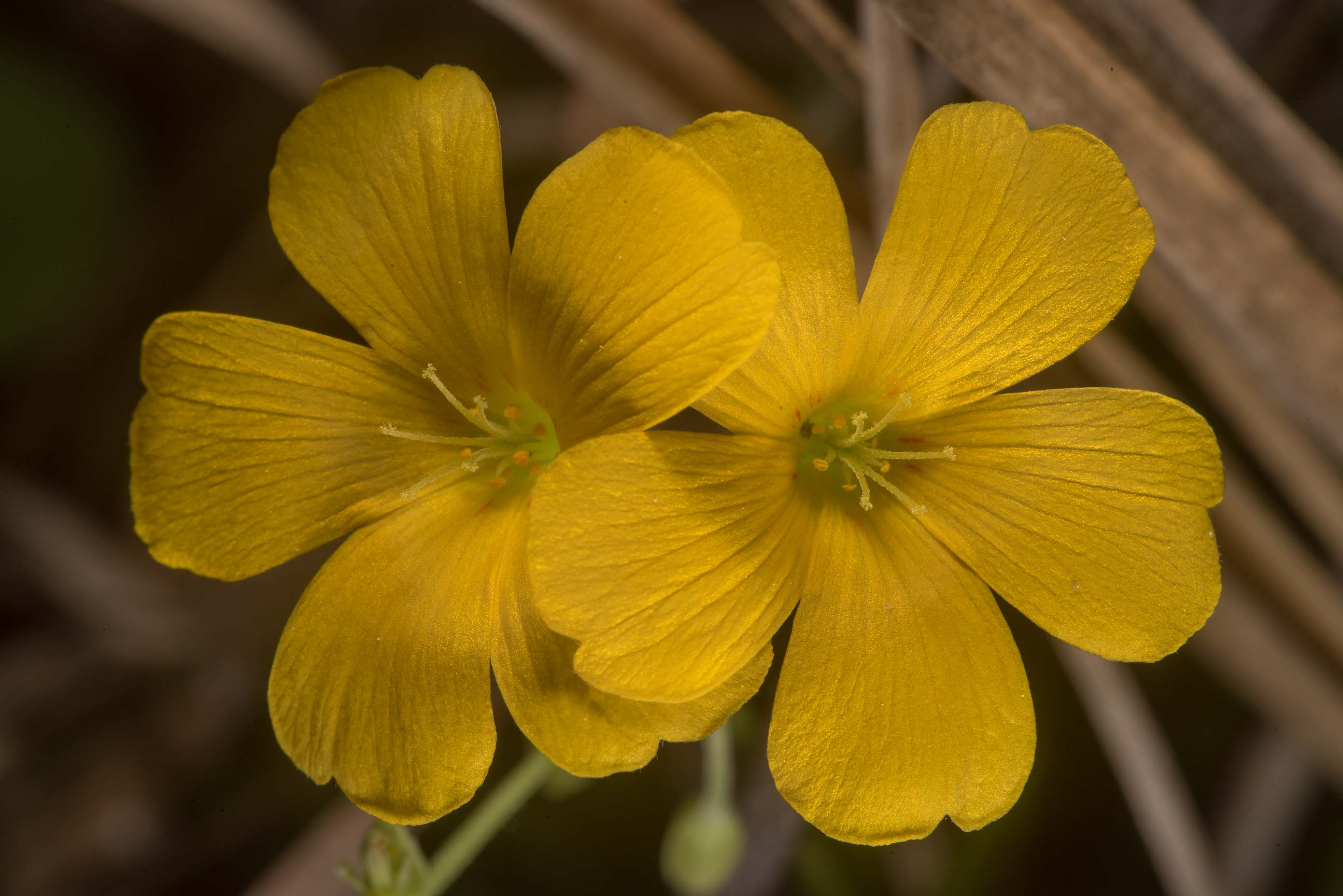 Yellow wood sorrel (Oxalis stricta) on Richards...in Sam Houston National Forest. Texas