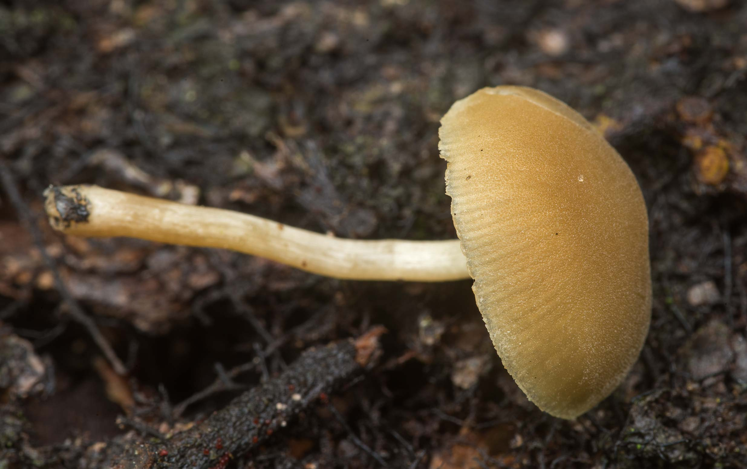 Dingy twiglet mushroom (Simocybe centunculus) on...National Forest. Richards, Texas