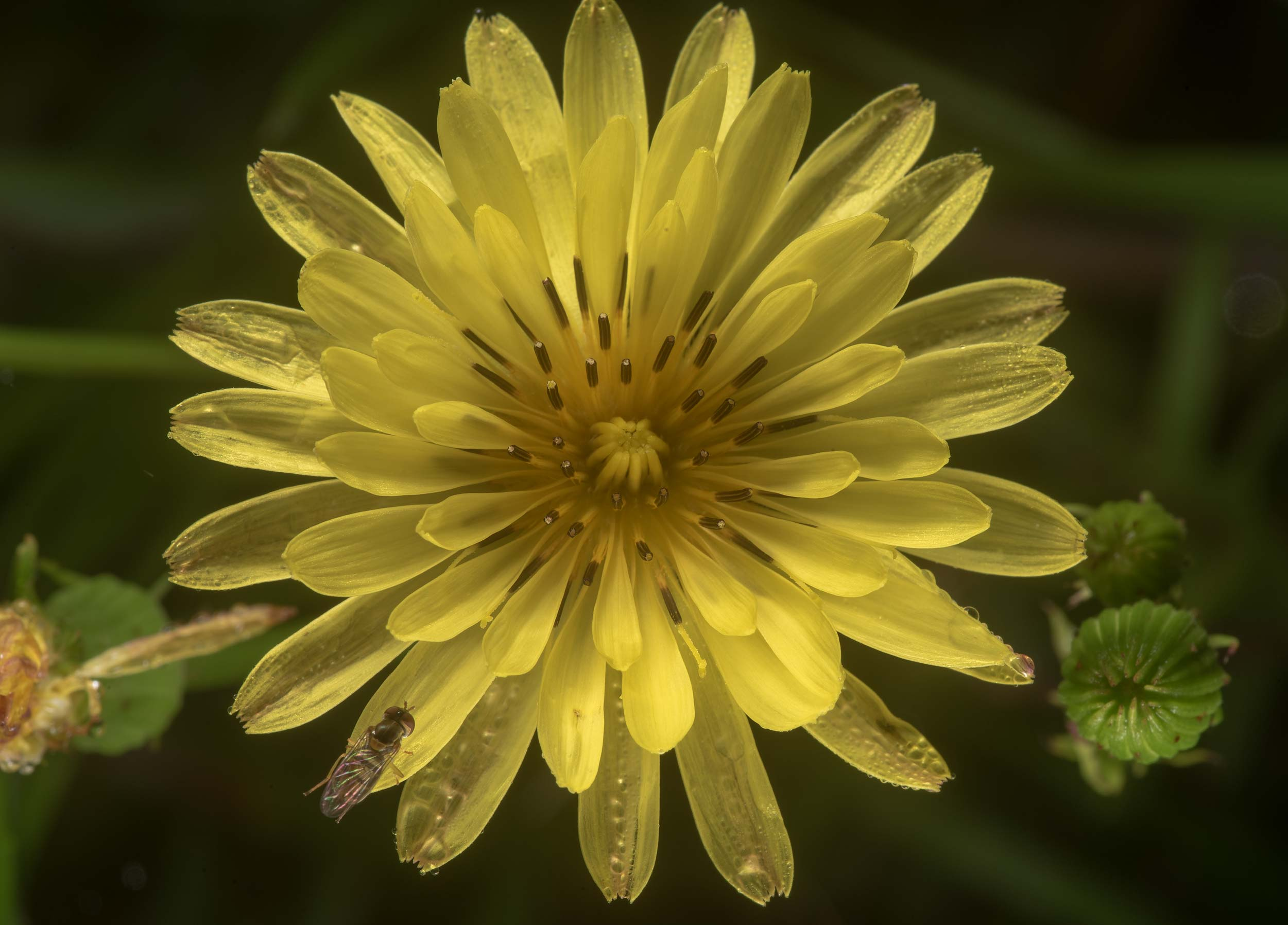 Texas dandelion (Pyrrhopappus) in David E. Schob...Ashburn St.. College Station, Texas