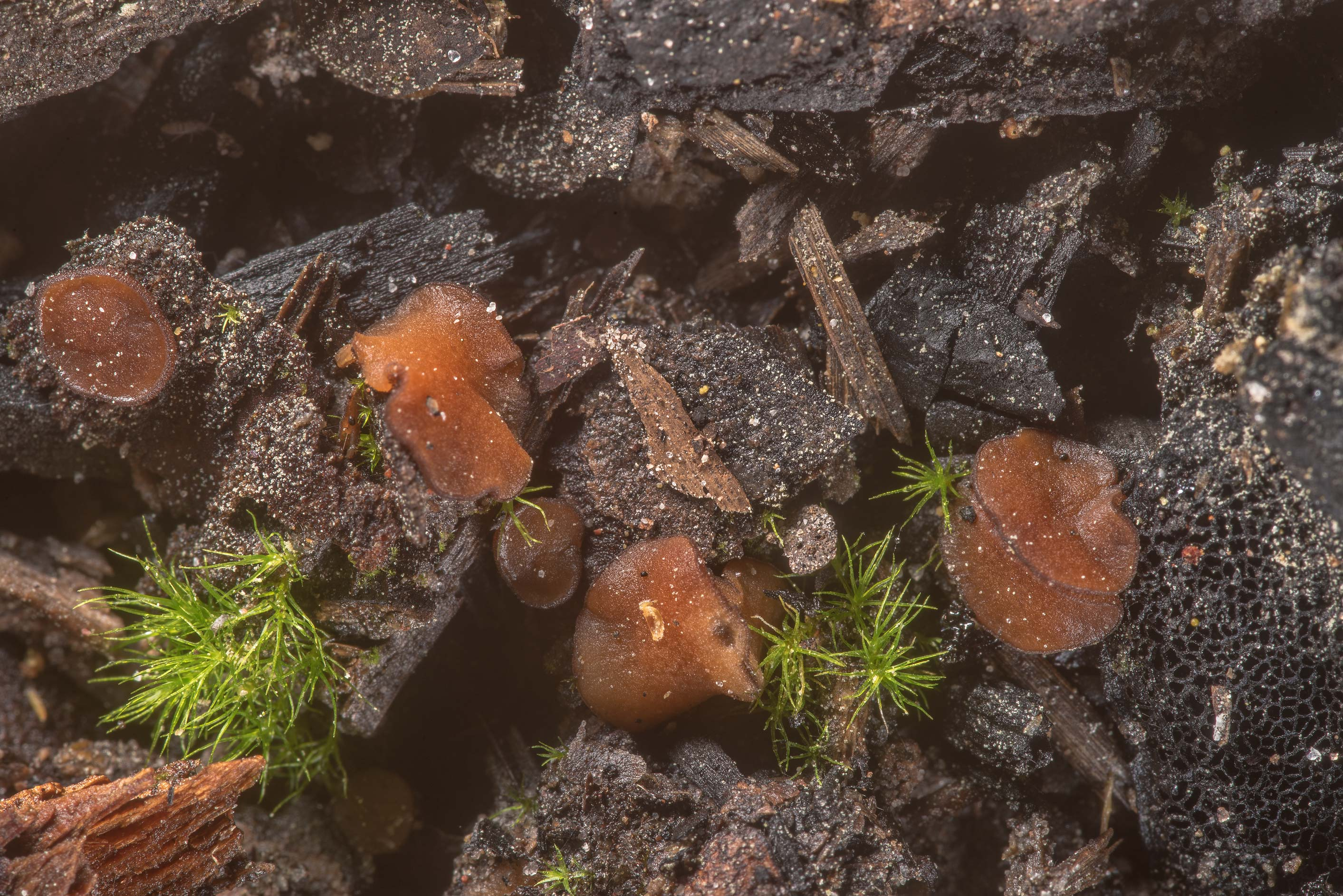 Some brown cup Ascomycete fungus on a site of old...in Sam Houston National Forest. Texas