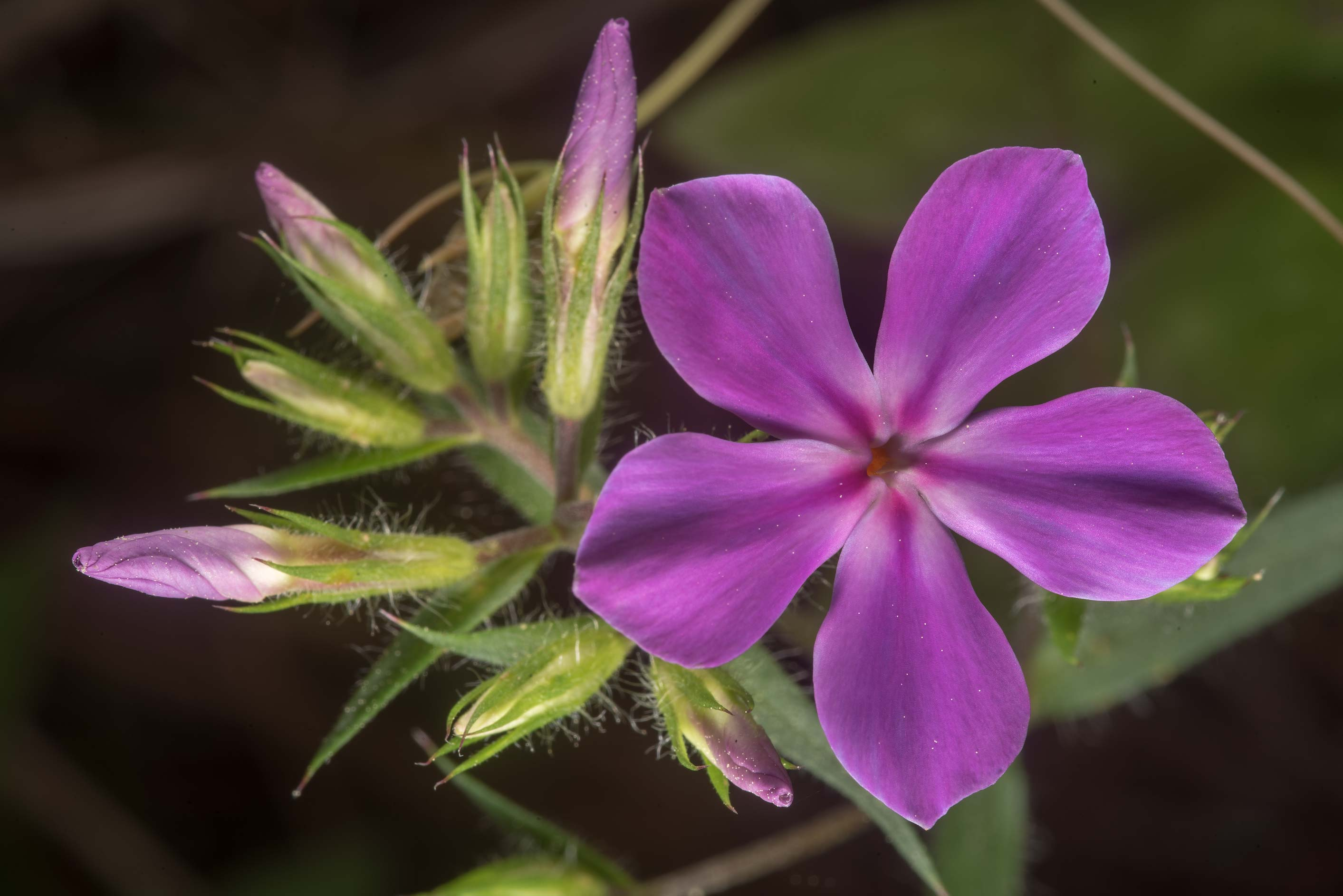 Downy phlox (Phlox pilosa) in bloom on Richards...in Sam Houston National Forest. Texas