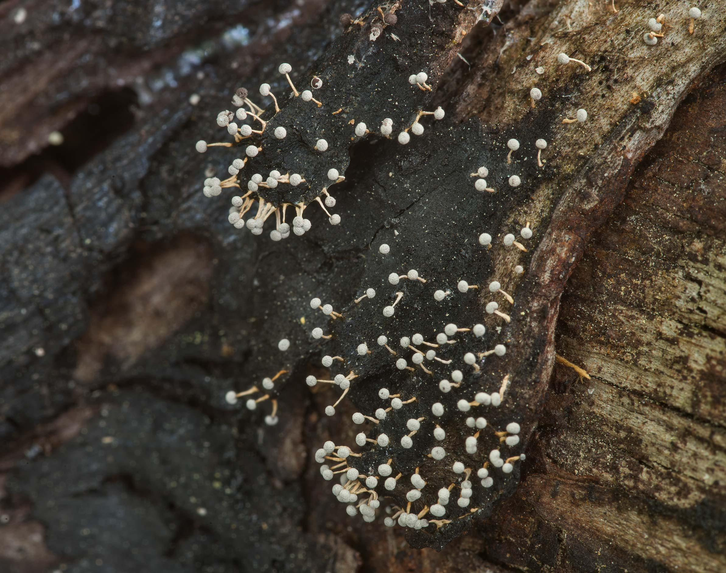 Some tiny slime mold on a log on Stubblefield...in Sam Houston National Forest. Texas
