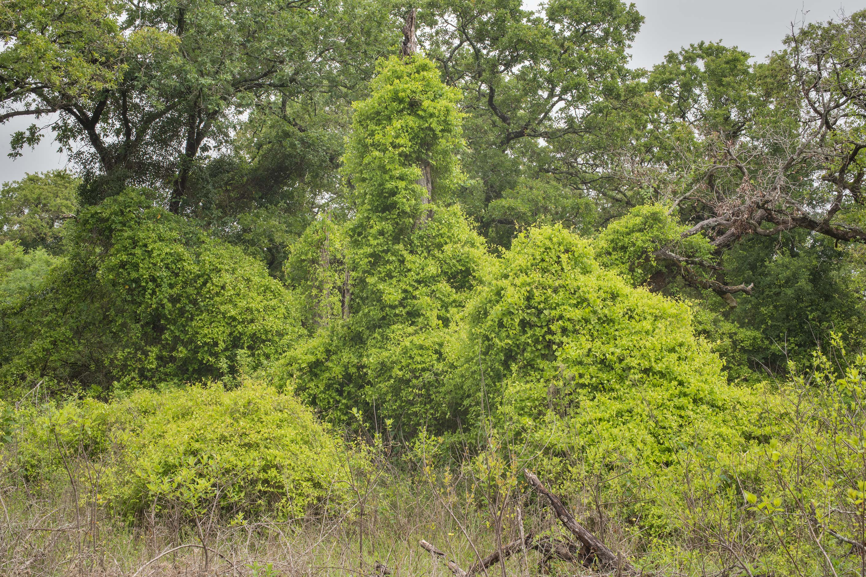 Oaks and bushes overgrown by greenbrier (Smilax...of Somerville Lake State Park. Texas