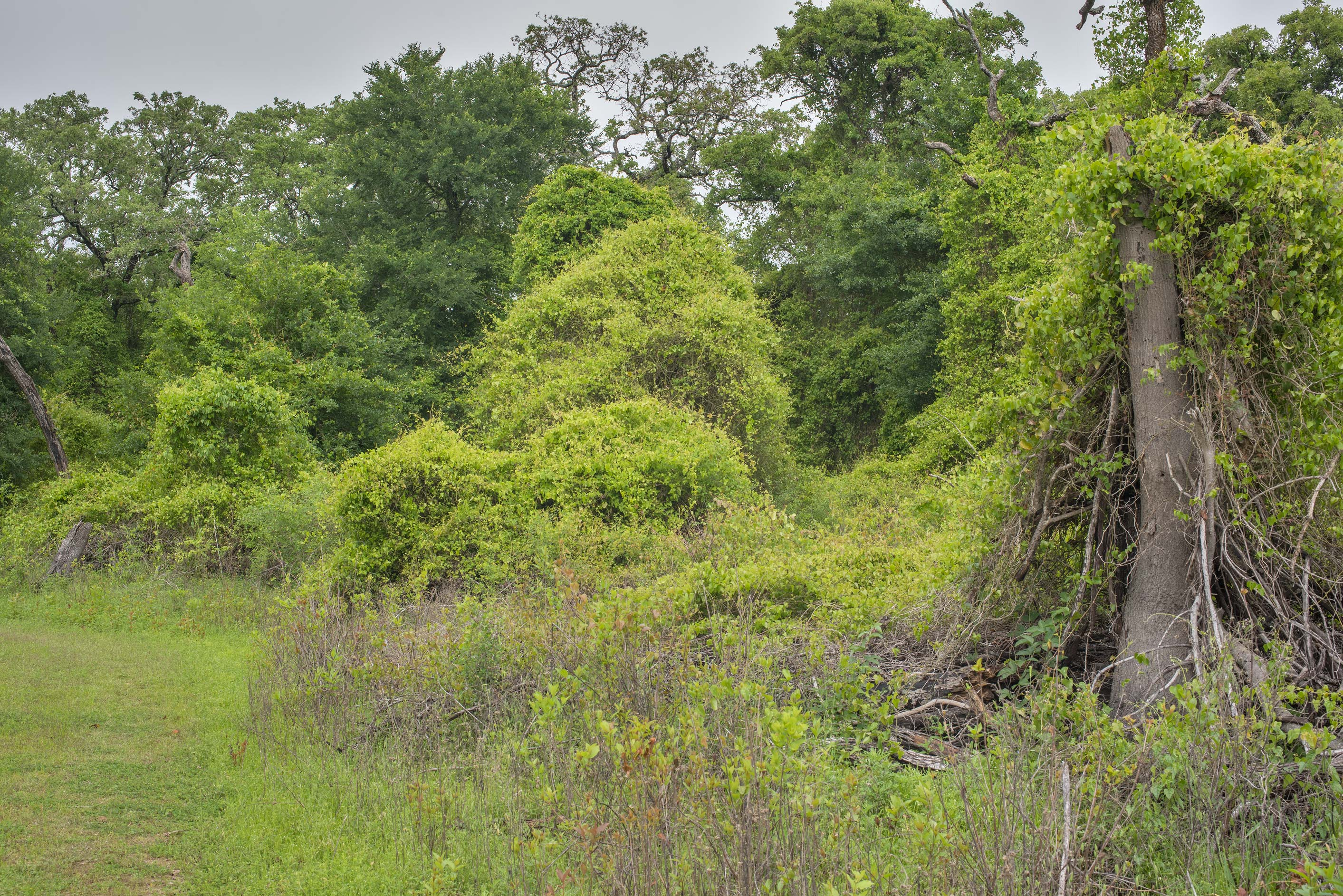 Dead oaks overgrown by greenbrier (Smilax) at...of Somerville Lake State Park. Texas