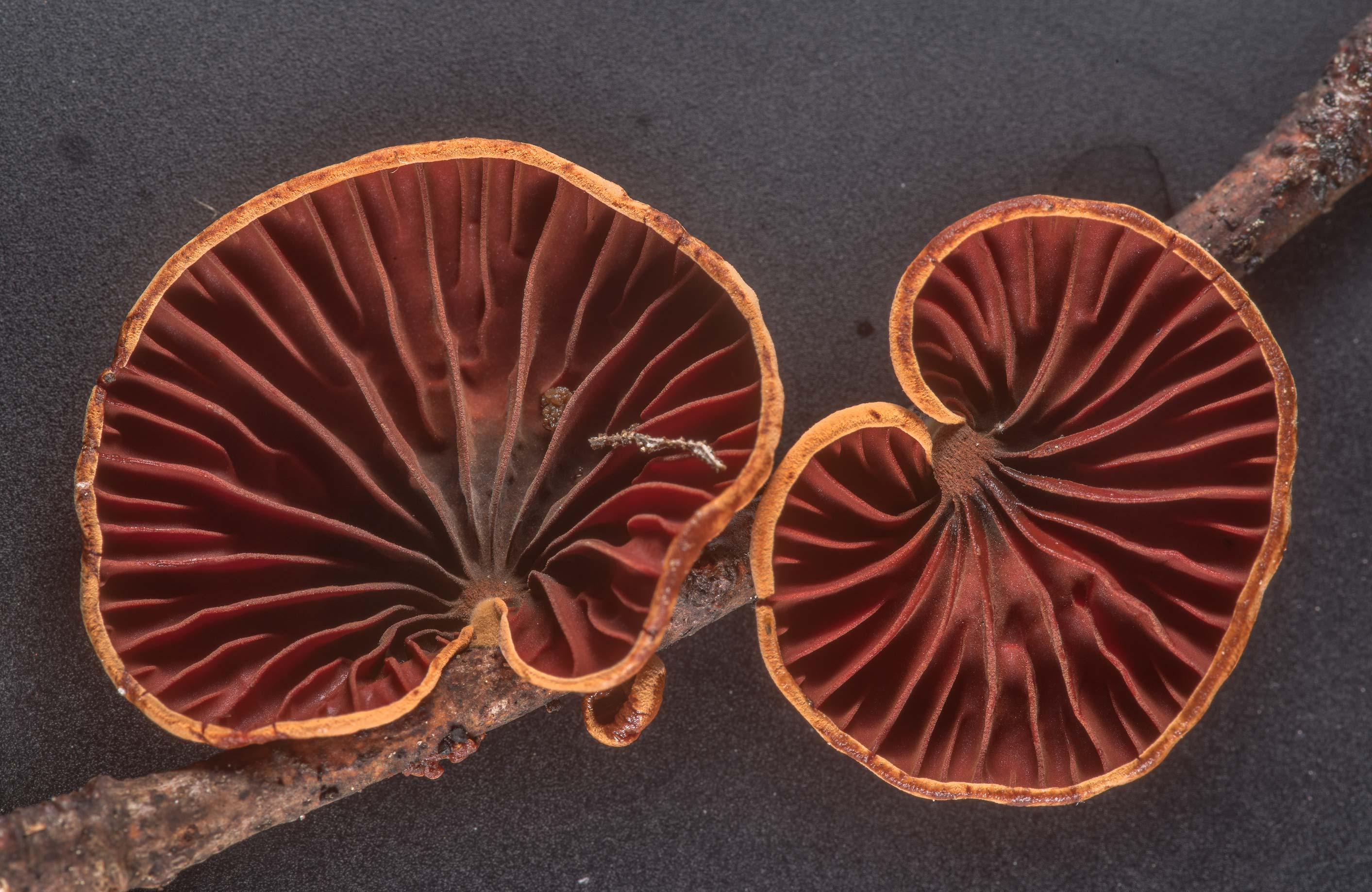 Close-up of gills of mushrooms Anthracophyllum...National Forest. Cleveland, Texas