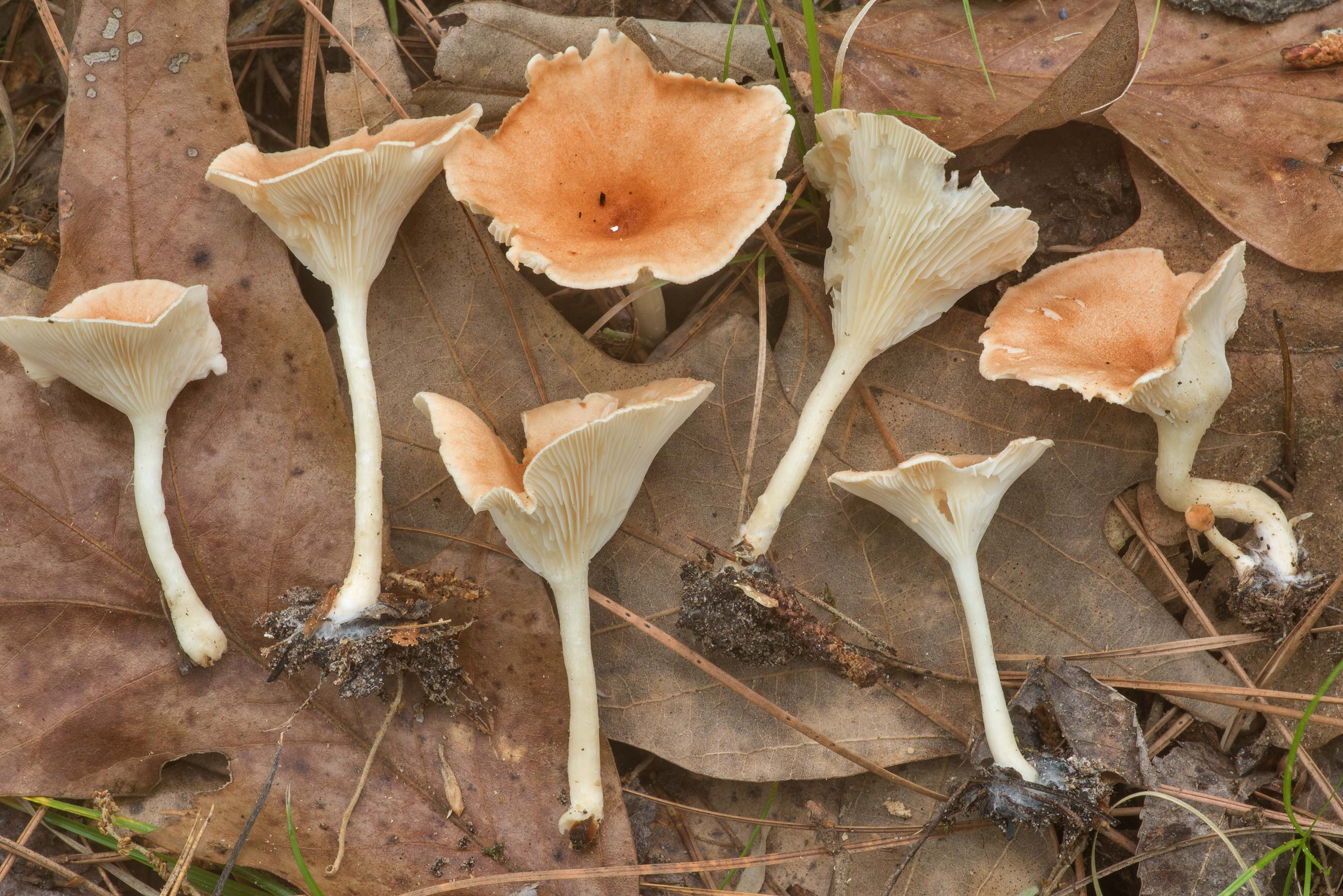 Common funnel mushroom Infundibulicybe gibba...National Forest. Richards, Texas