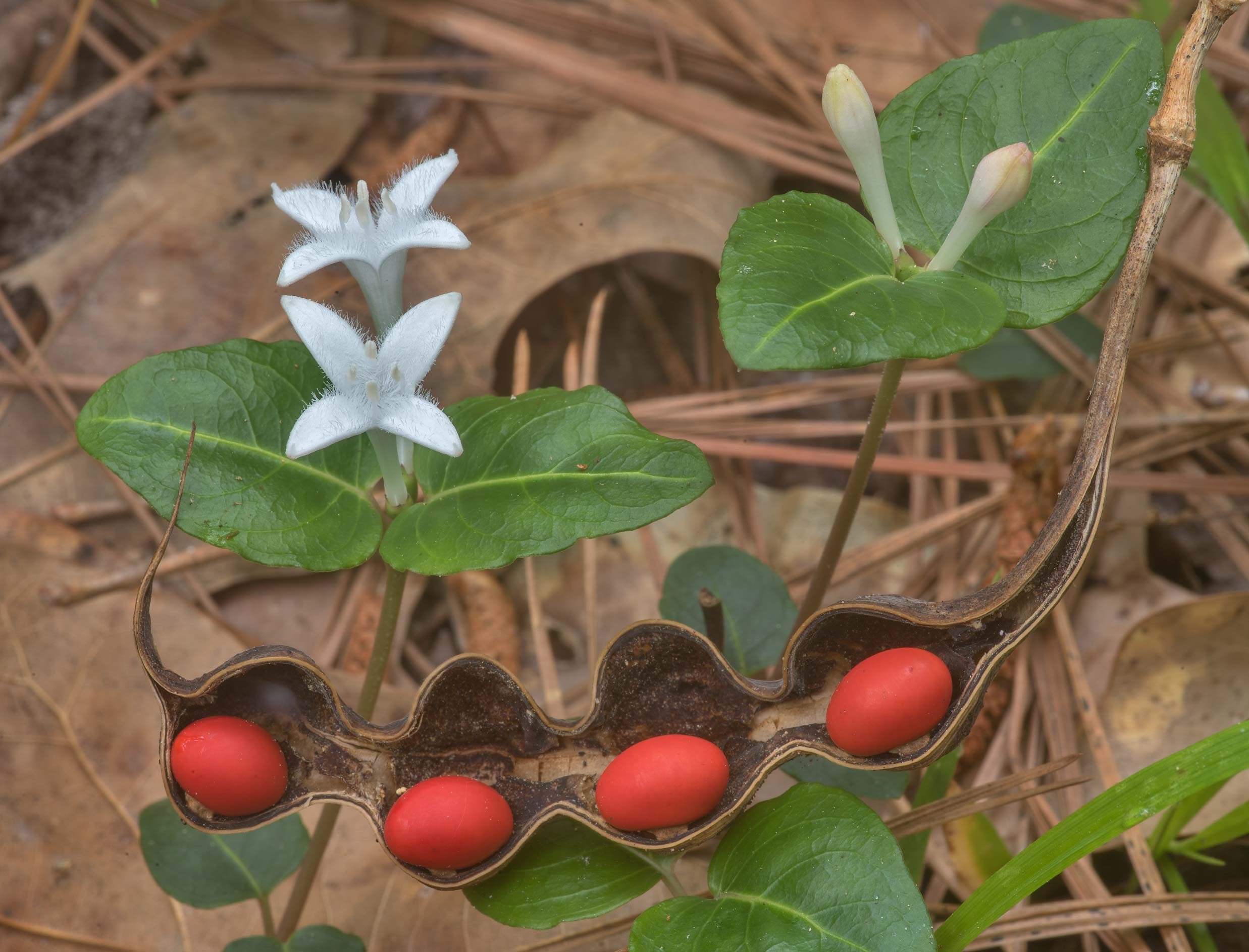 White flowers of partridge berry and red seeds of...National Forest. Richards, Texas