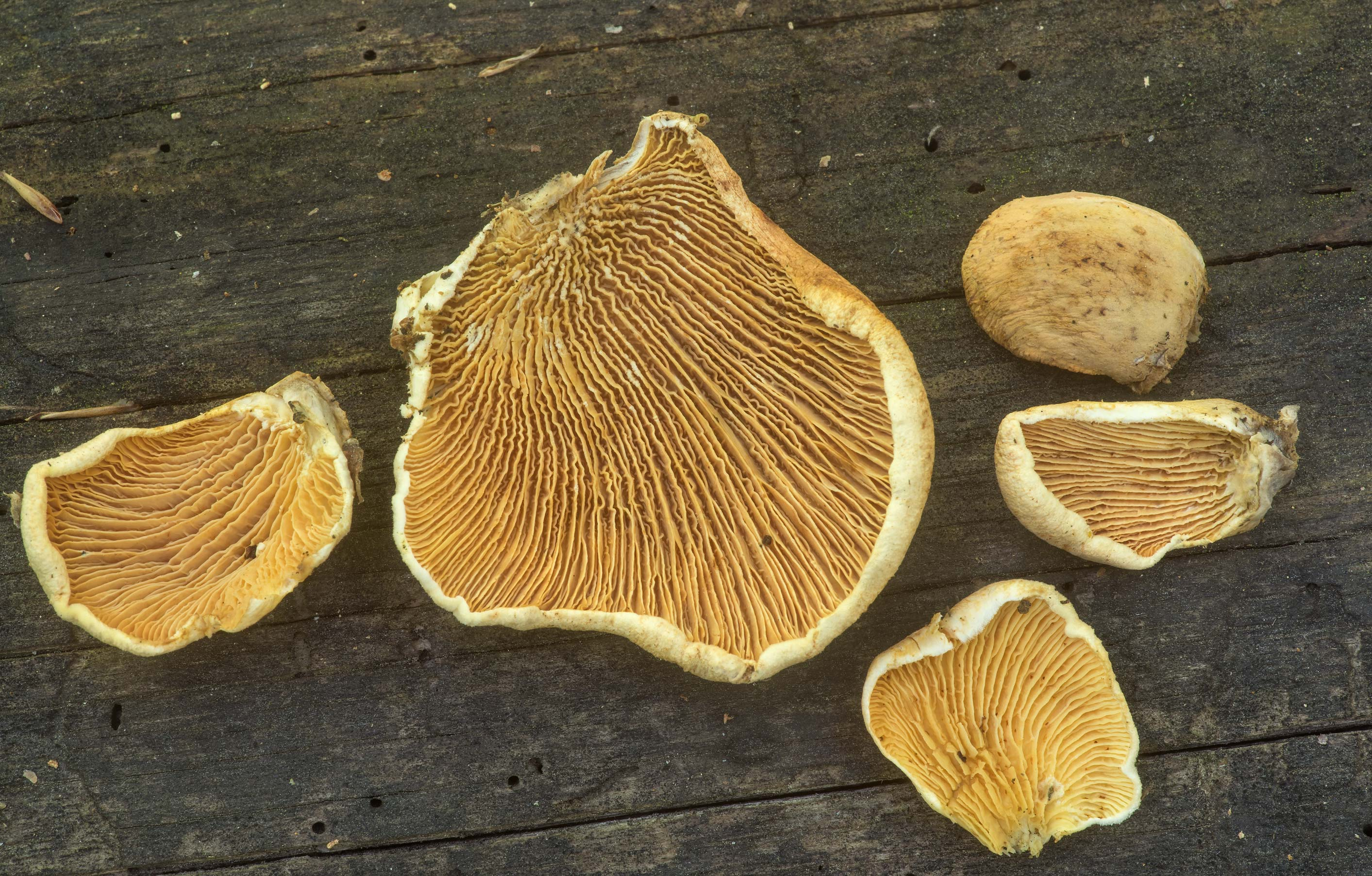 Underside of oyster rollrim mushrooms (Tapinella...Forest north from Montgomery. Texas