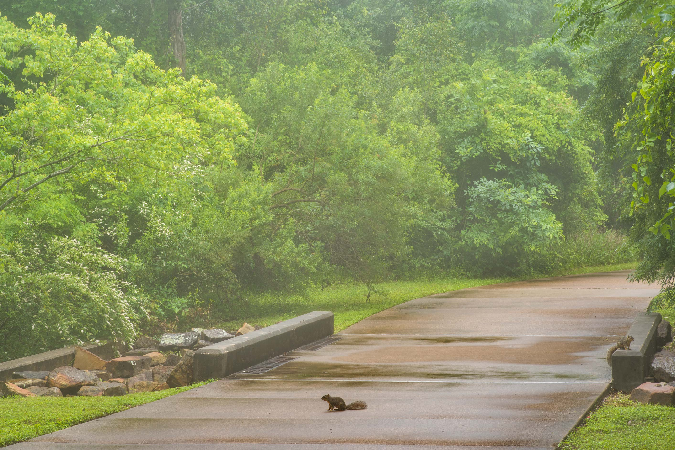 Squirrels on a stone bridge in Wolf Pen Creek Park. College Station, Texas