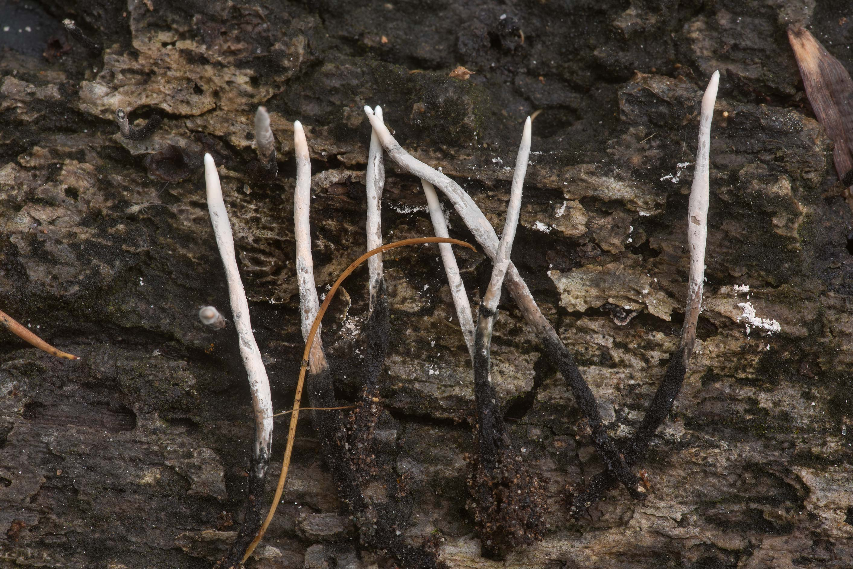 Candlesnuff fungus (Xylaria hypoxylon) on rotting...in Sam Houston National Forest. Texas