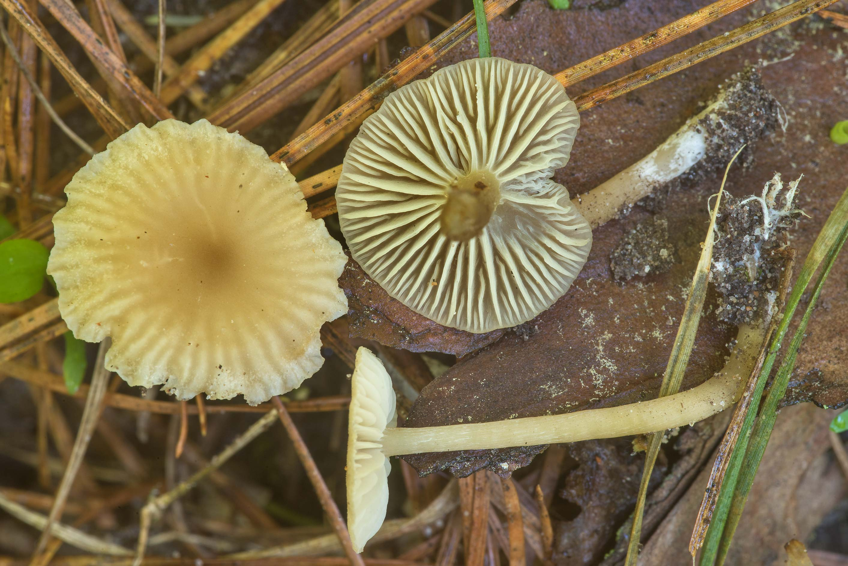 Pale brown waxcap (Hygrocybe) mushrooms (with...Forest north from Montgomery. Texas