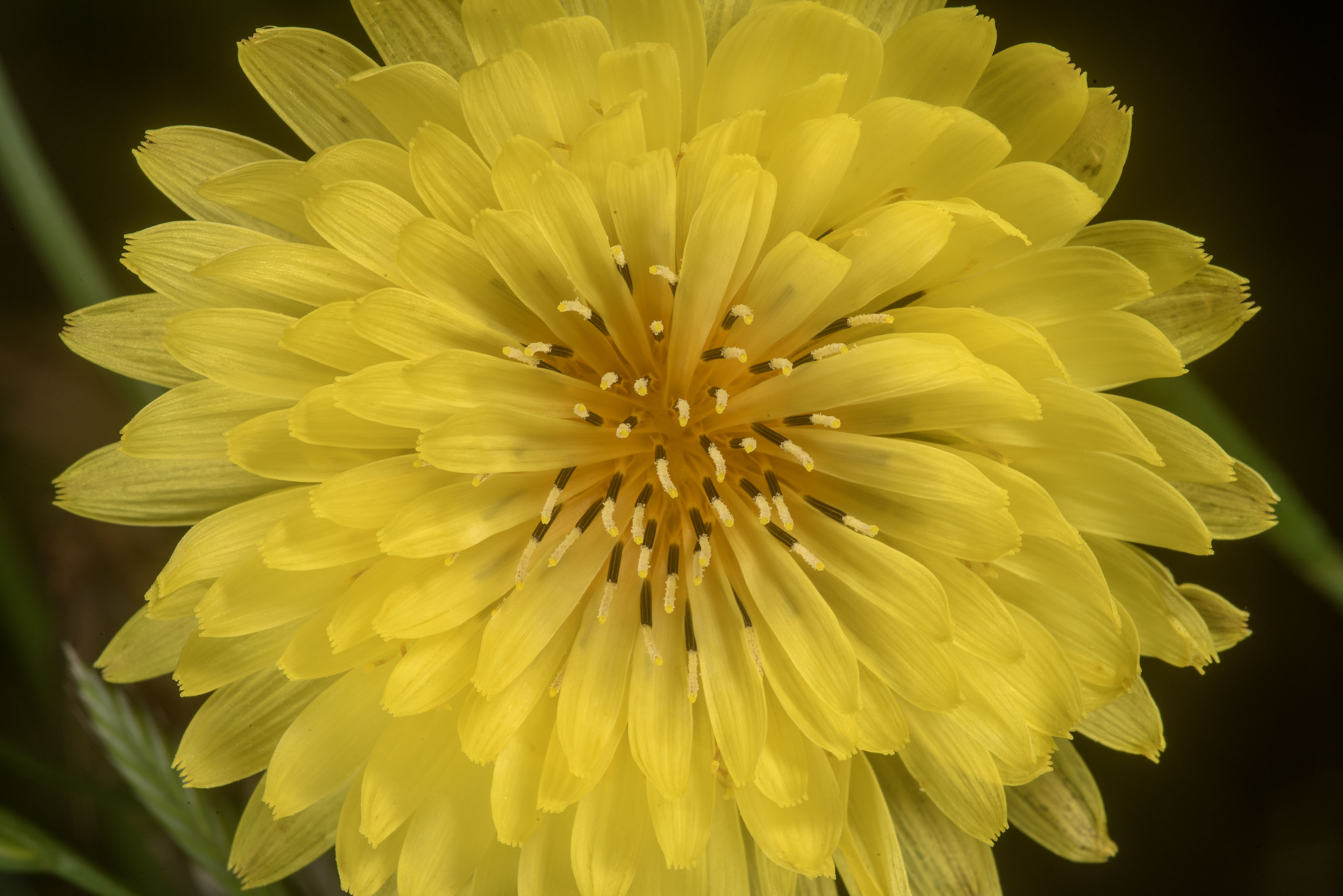 Close-up of false dandelion (Pyrrhopappus...Ashburn St.. College Station, Texas