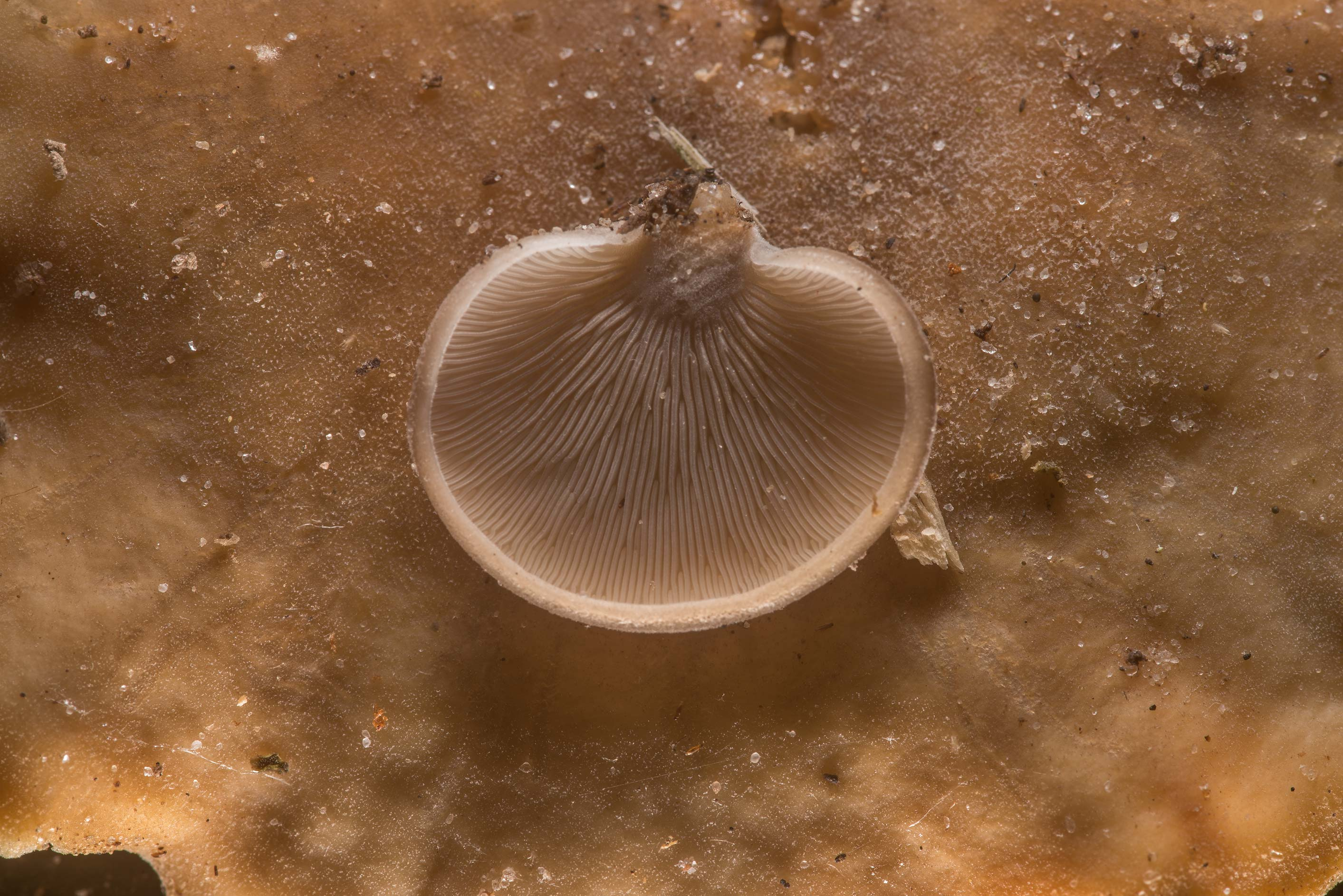 Underside of Hohenbuehelia mushroom on a small...National Forest. Shepherd, Texas