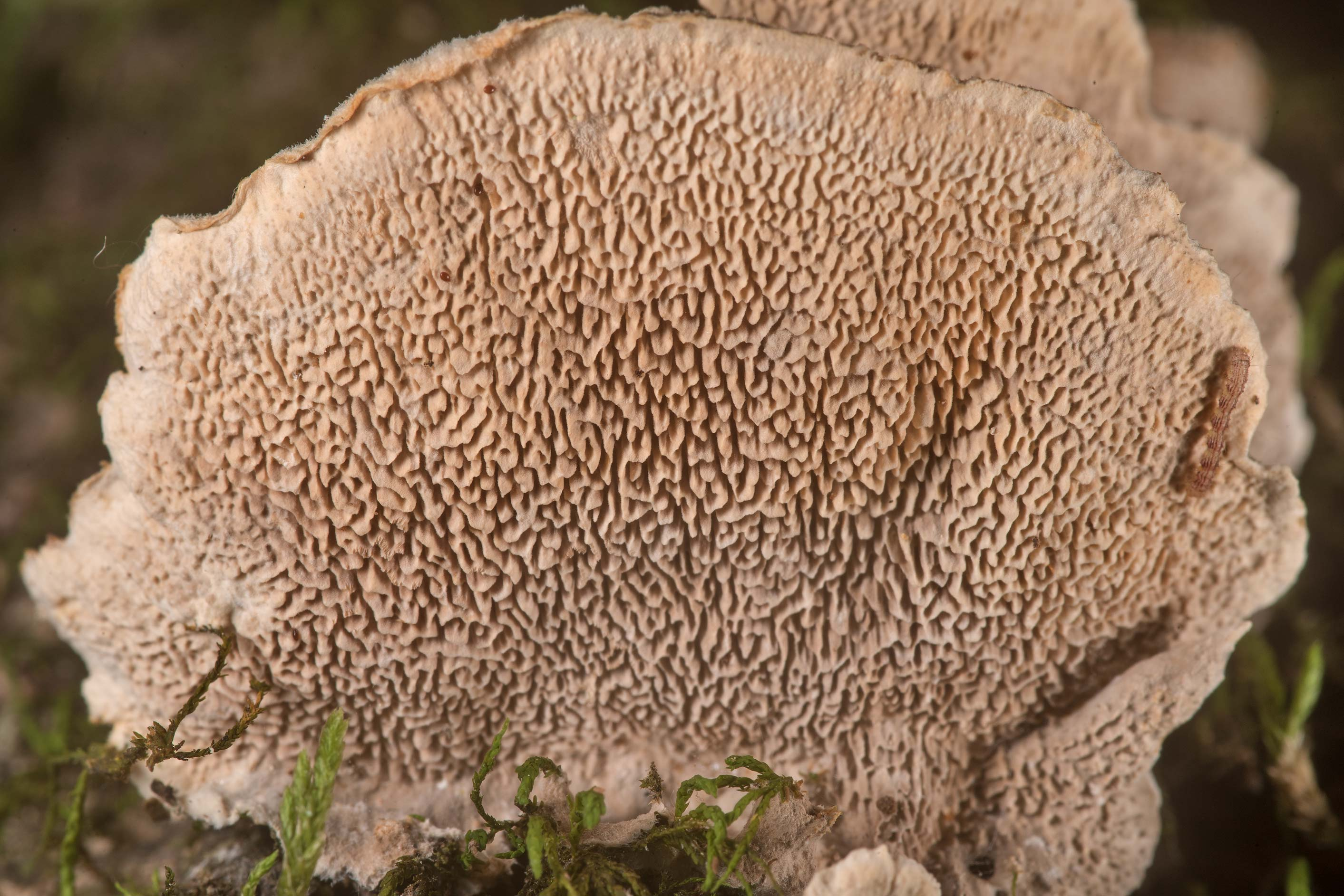 Pores of bracket polypore mushrooms Trametes on a...National Forest. Shepherd, Texas
