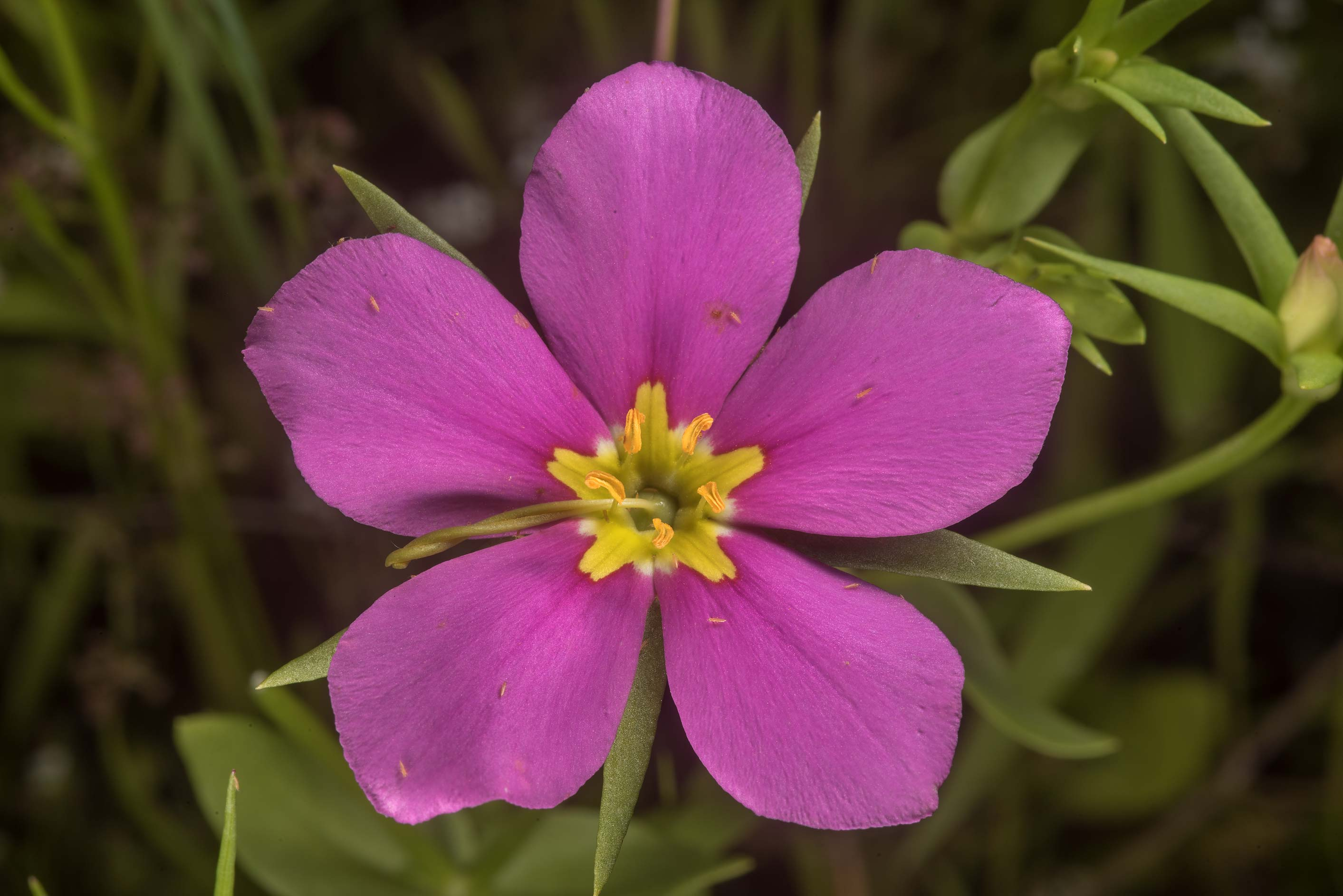 Flower of meadow pink (Sabatia campestris) on a...of Somerville Lake State Park. Texas