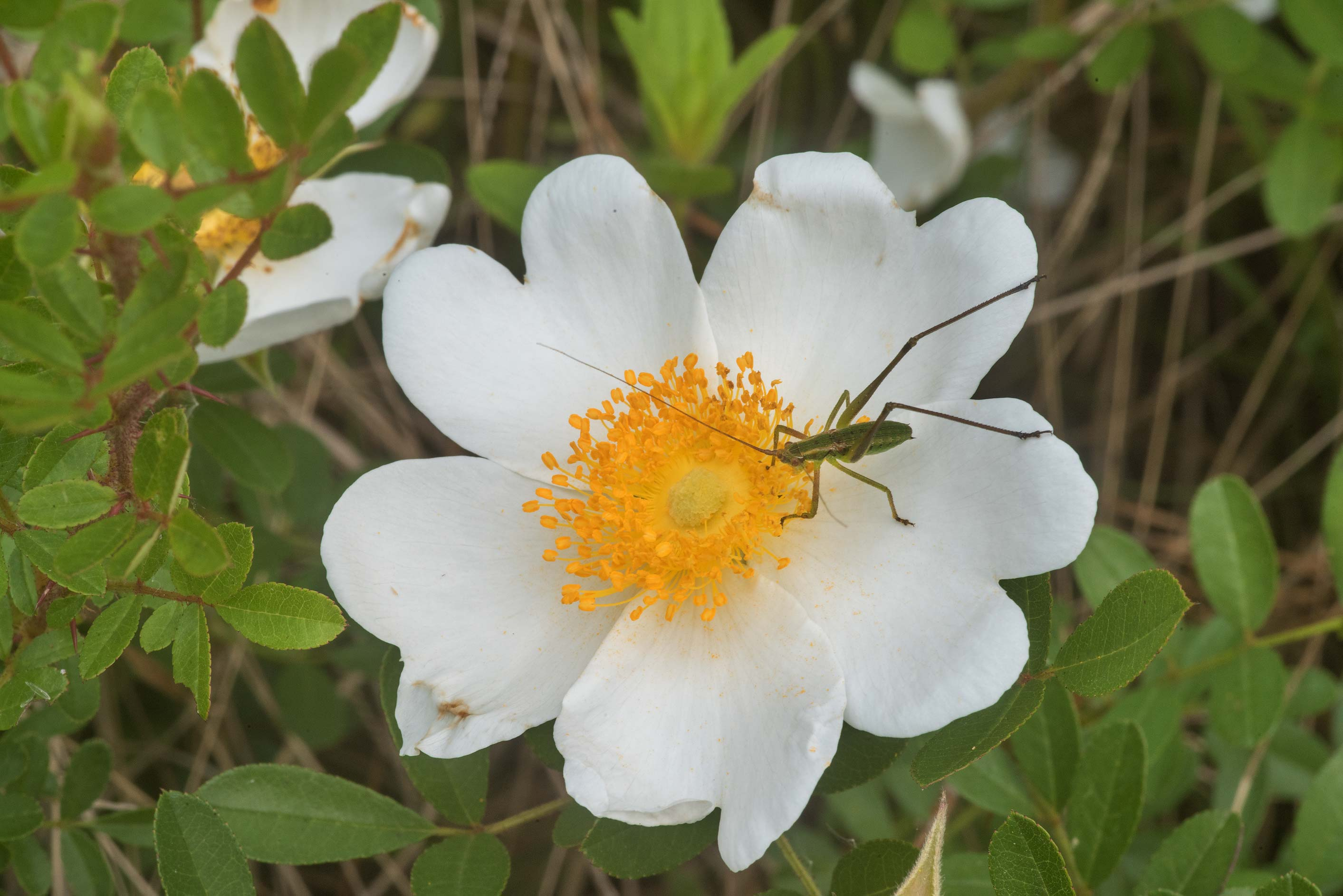 Blooming Macartney rose (Rosa bracteata) on...in Sam Houston National Forest. Texas