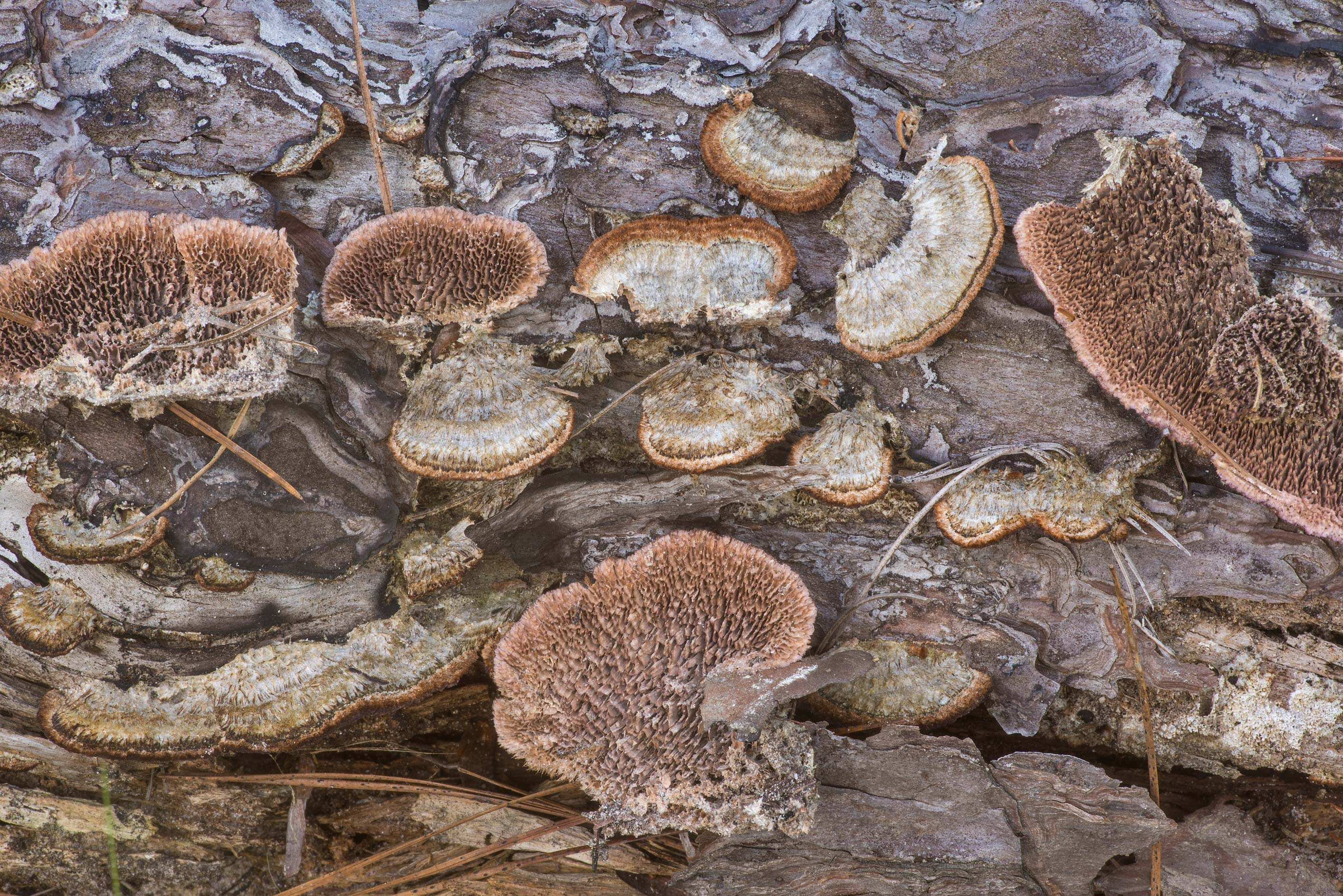 Polypore mushrooms Trichaptum byssogenum on a...National Forest near Richards. Texas