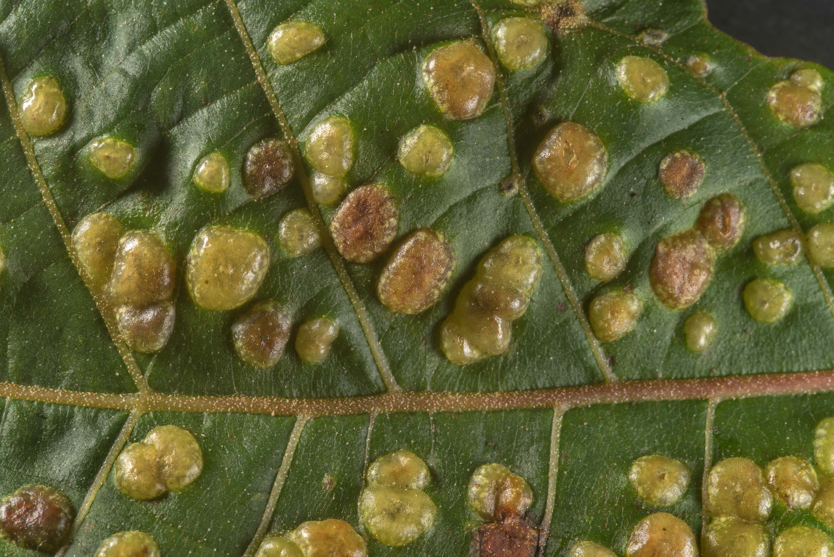 Texture of Phylloxera galls on hickory leaves on...National Forest near Richards. Texas