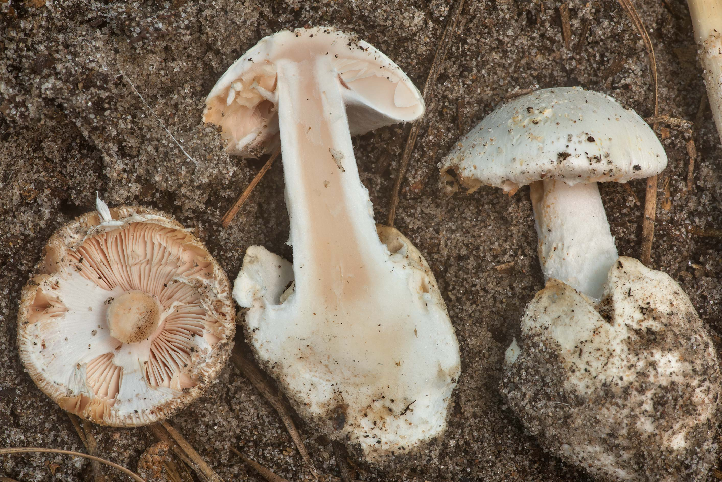 Dissected white Amanita mushrooms with reddish...National Forest near Richards. Texas