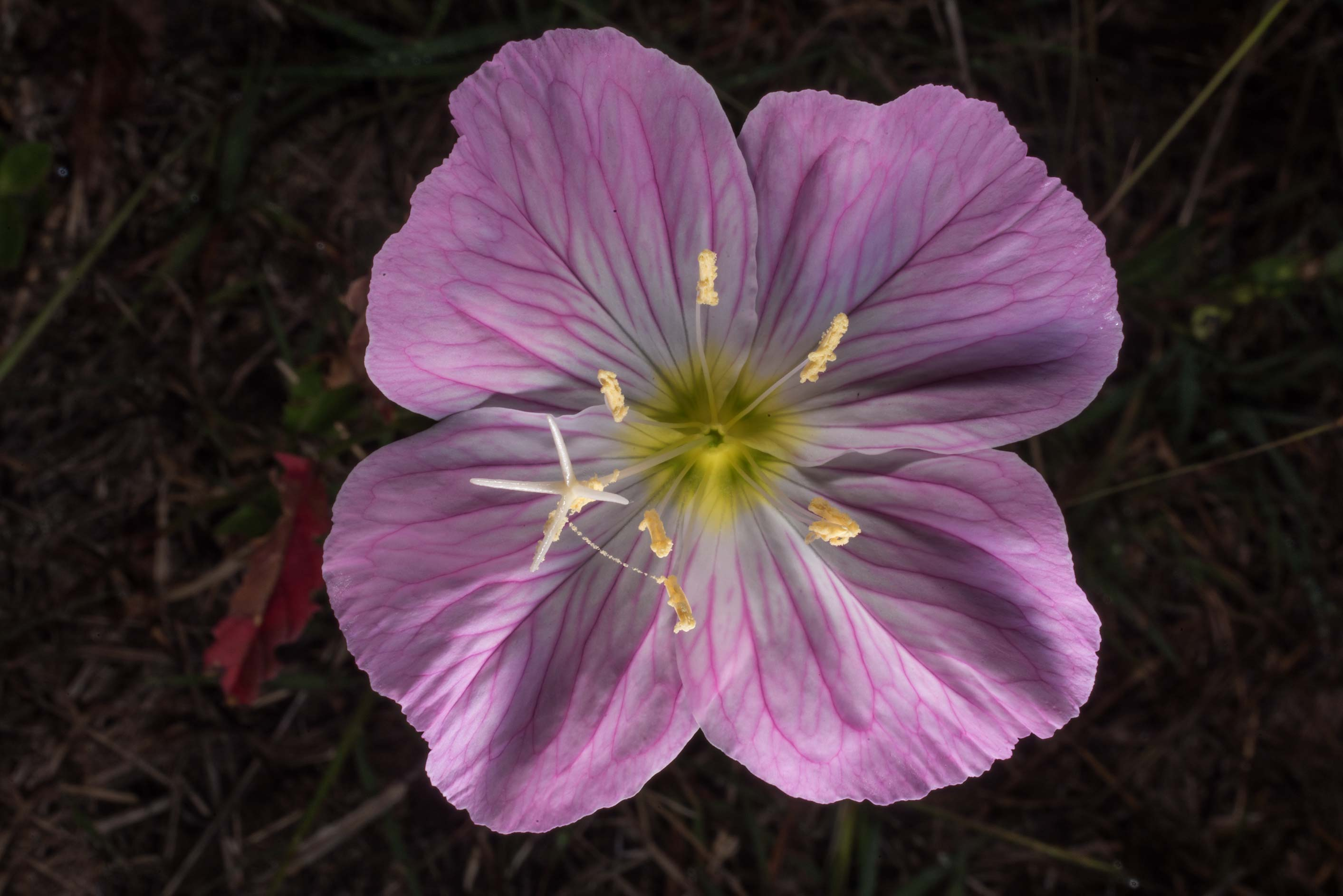 Flower of showy evening primrose (Oenothera...State Historic Site. Washington, Texas