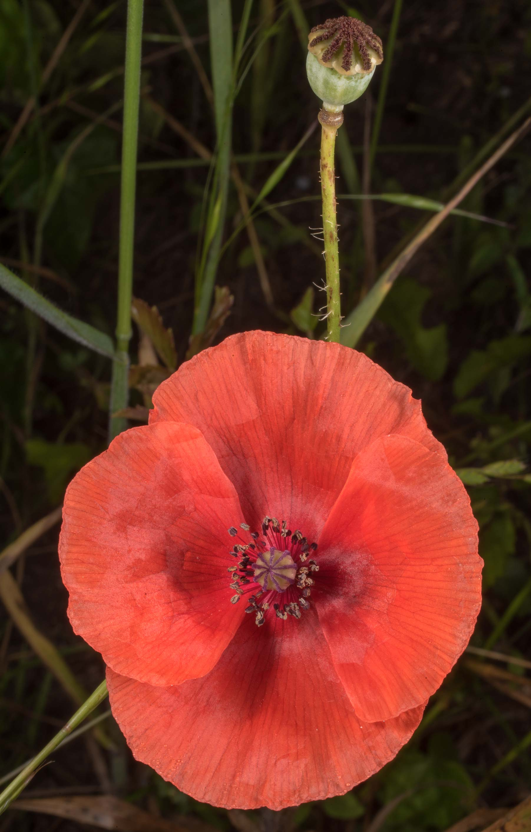 Common red corn poppy (Papaver rhoeas) on...State Historic Site. Washington, Texas