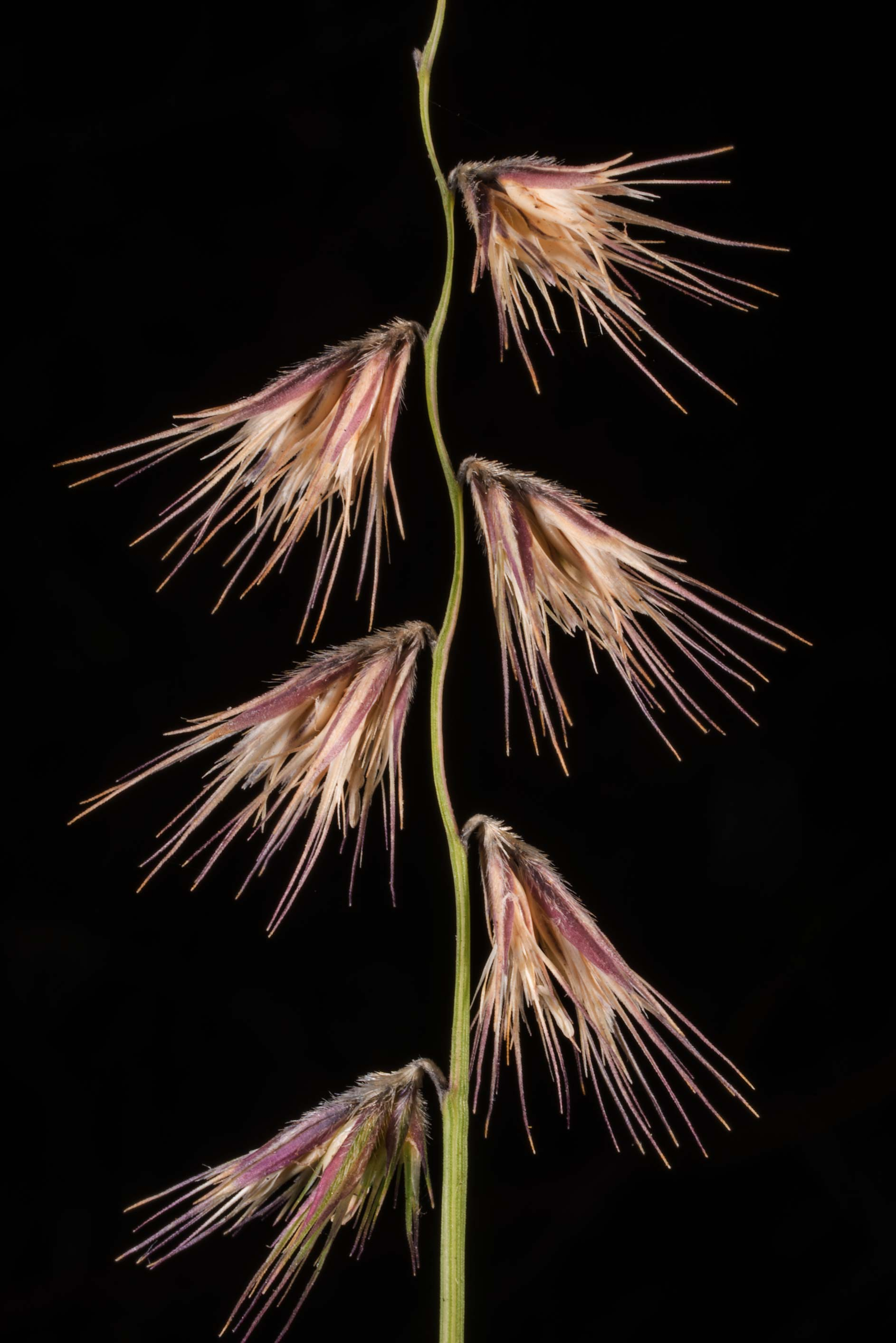 Spikelet of grama grass (Bouteloua rigidiseta) in...Pen Creek Park. College Station, Texas