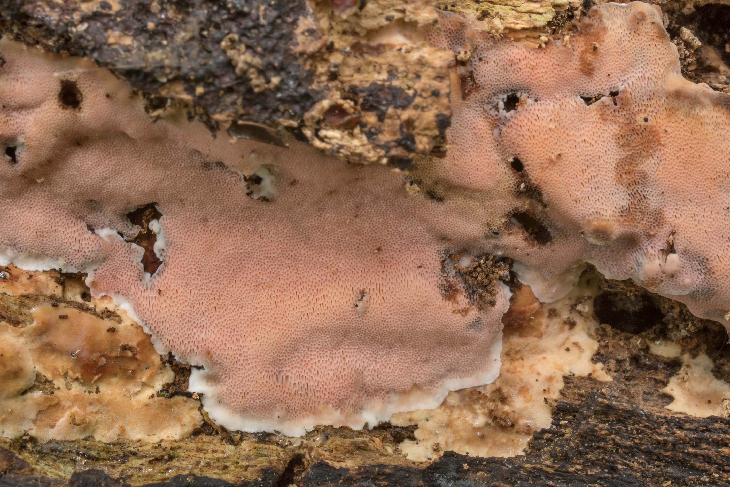 Texture of pinkish resupinate polypore mushroom...Forest north from Montgomery. Texas