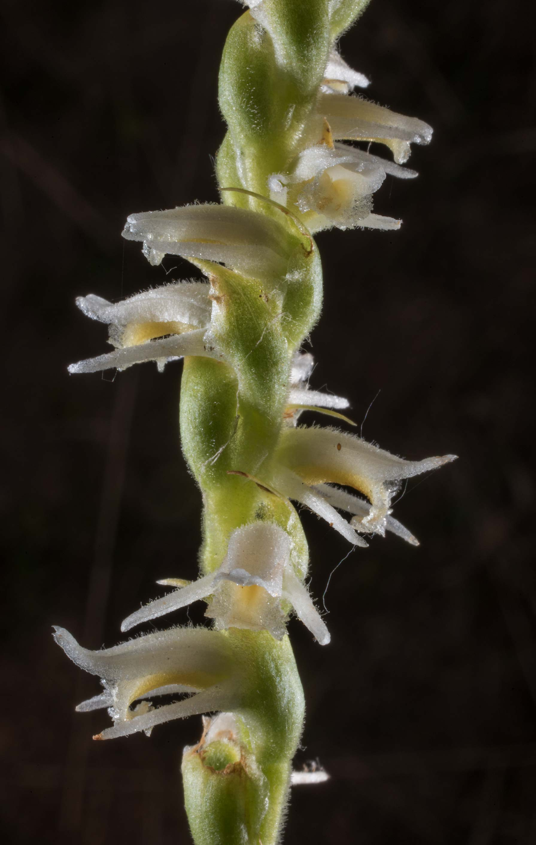 Spring lady's tresses (Spiranthes vernalis) in...State Historic Site. Washington, Texas