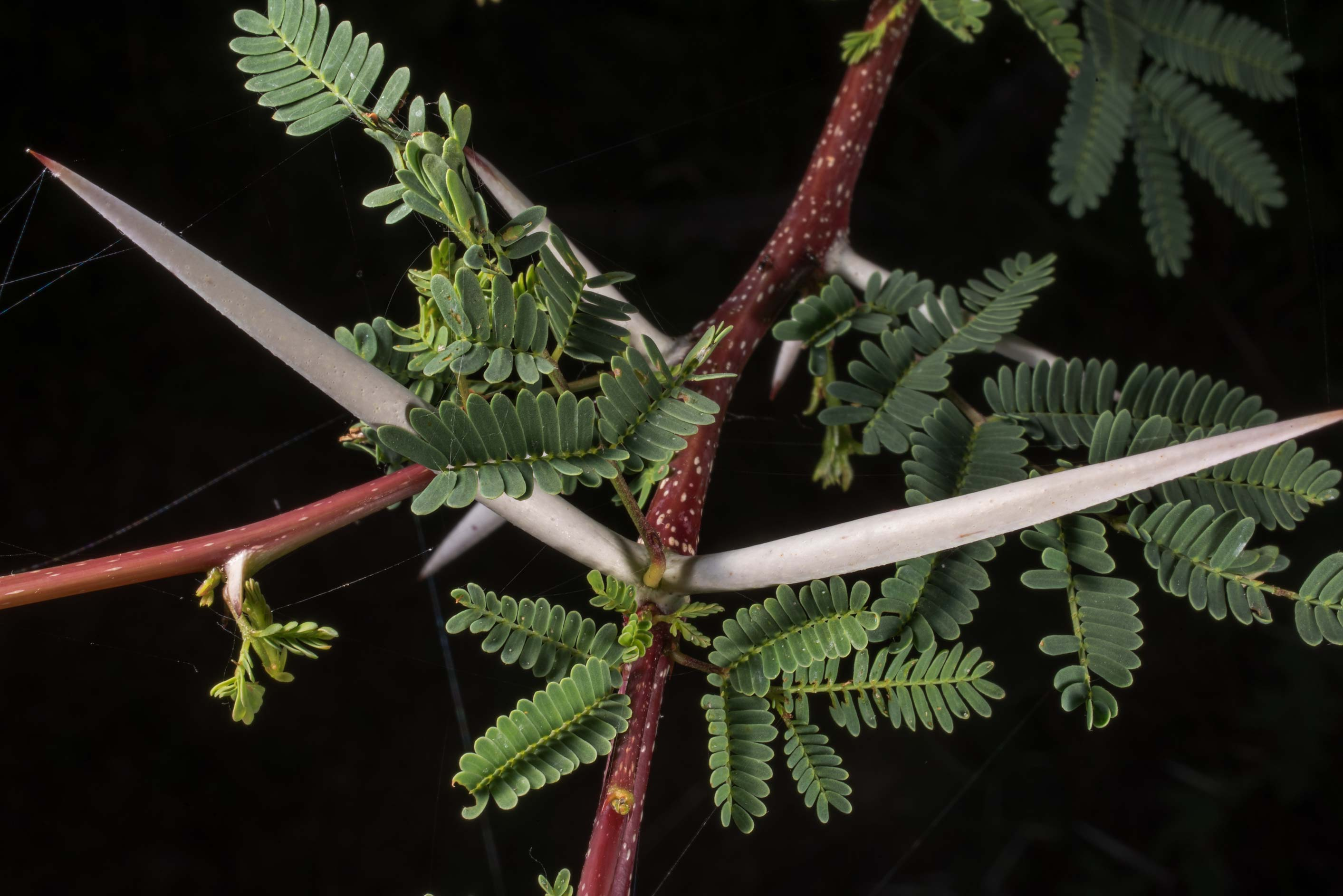 Thorns of Huisache (Acacia farnesiana) in...State Historic Site. Washington, Texas