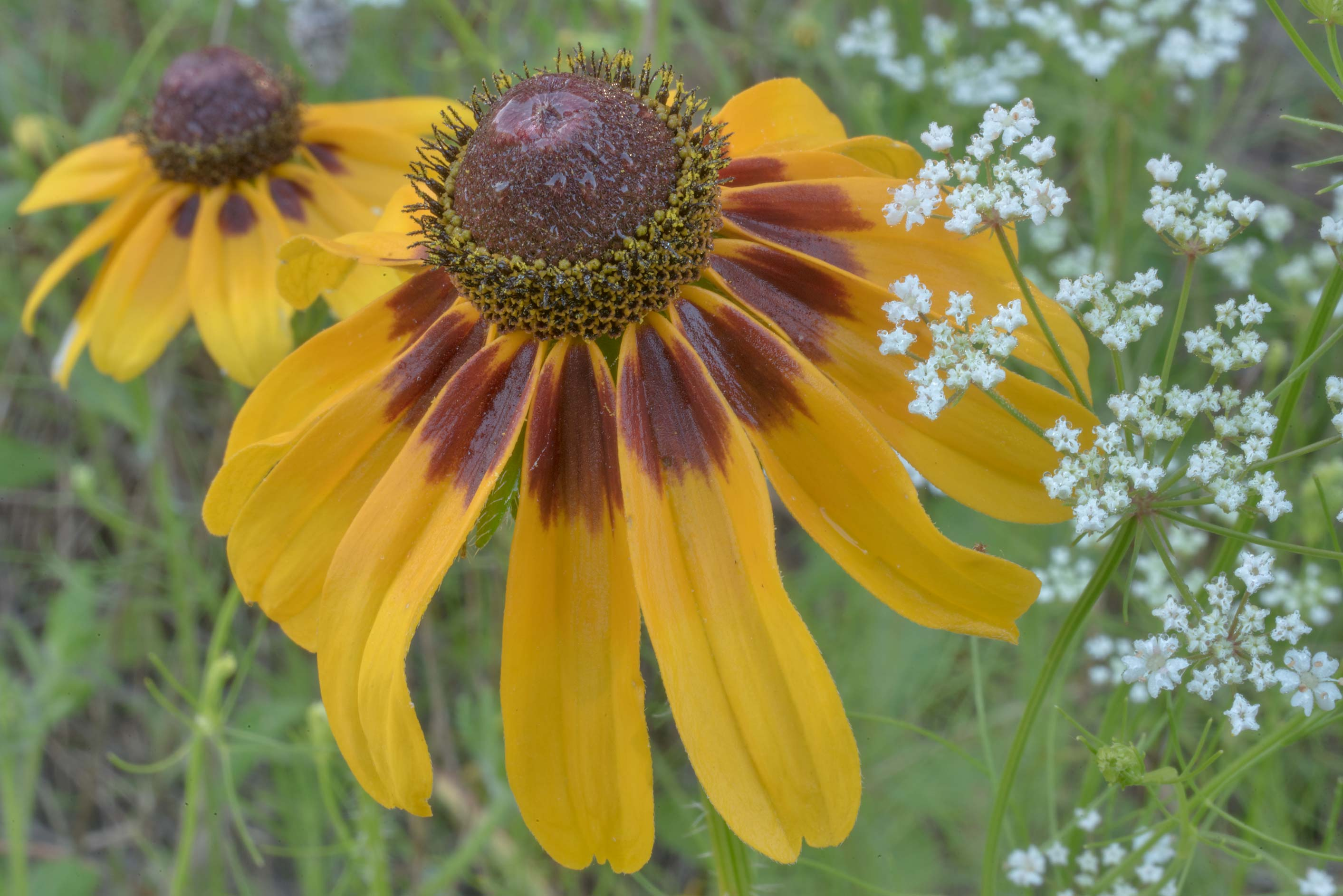 Black eyed susan and mock bishop's weed in Lick Creek Park. College Station, Texas