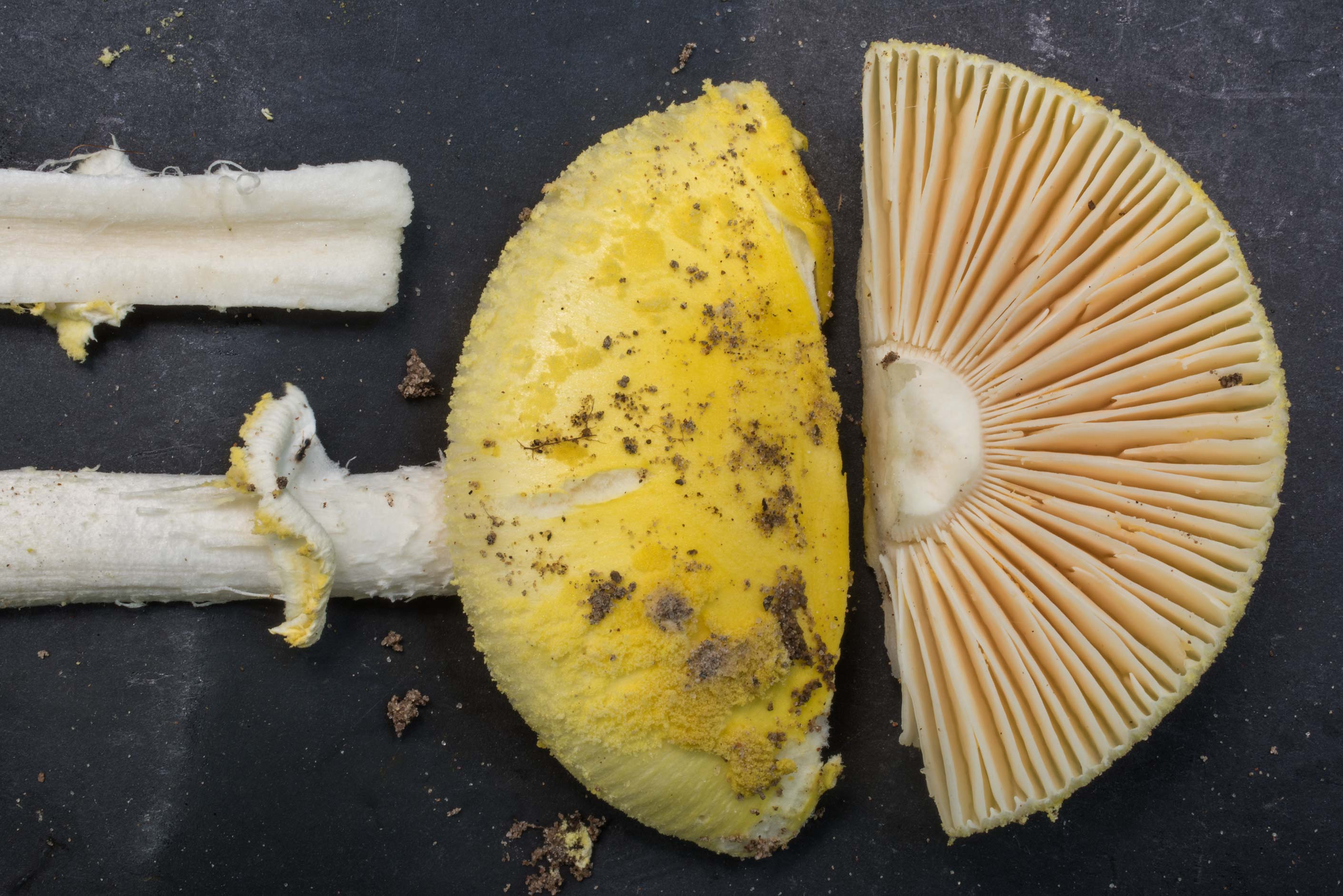 Cap and gills of Gulf Coast lemon Amanita...in Sam Houston National Forest. Texas