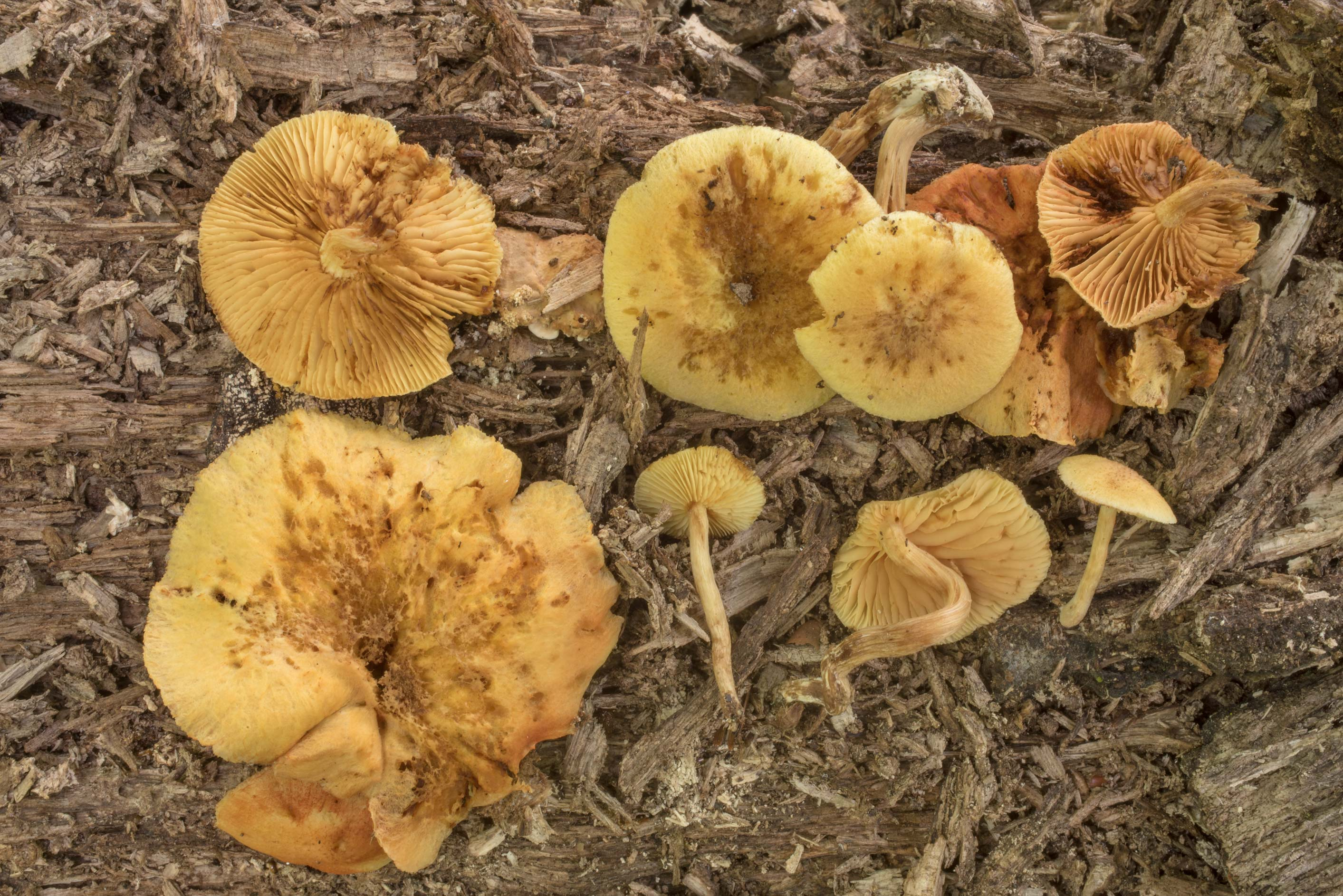 Rustgill mushrooms Gymnopilus luteoviridis on...Creek Park. College Station, Texas