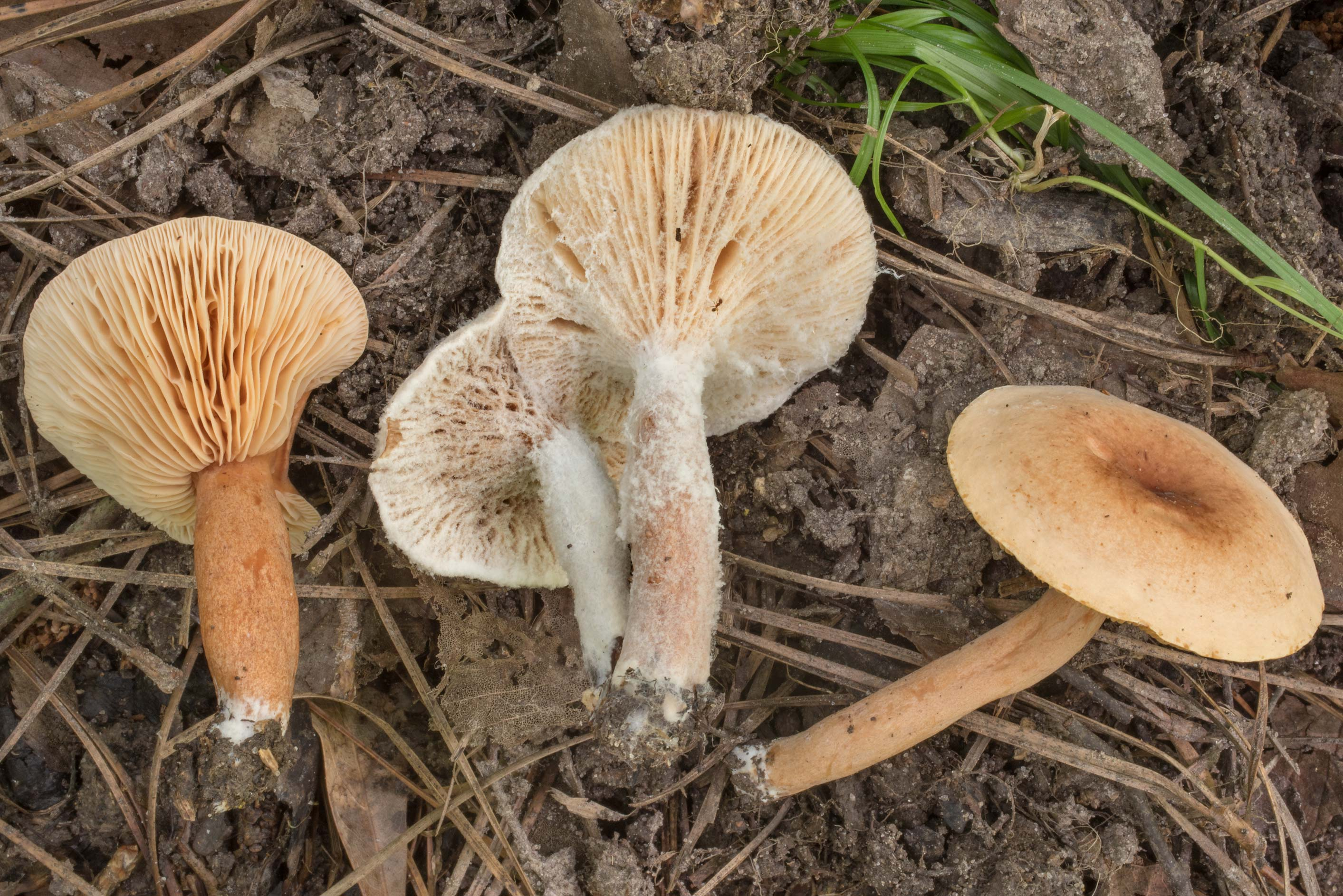 Birch milkcap mushrooms (Lactarius tabidus ) with...Forest north from Montgomery. Texas