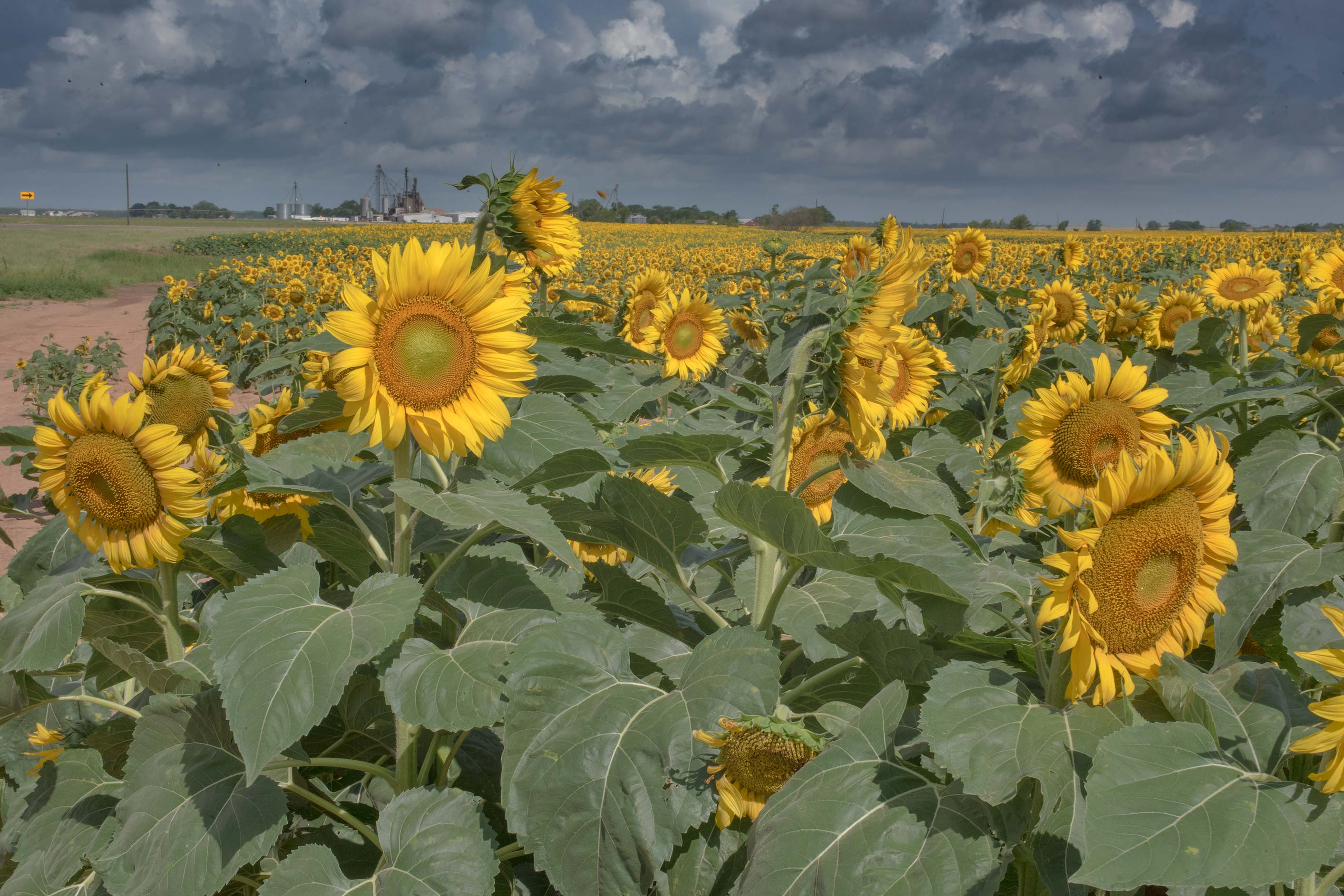 Sunflowers (Helianthus annuus) on Tom Moore Rd.. Washington, Texas