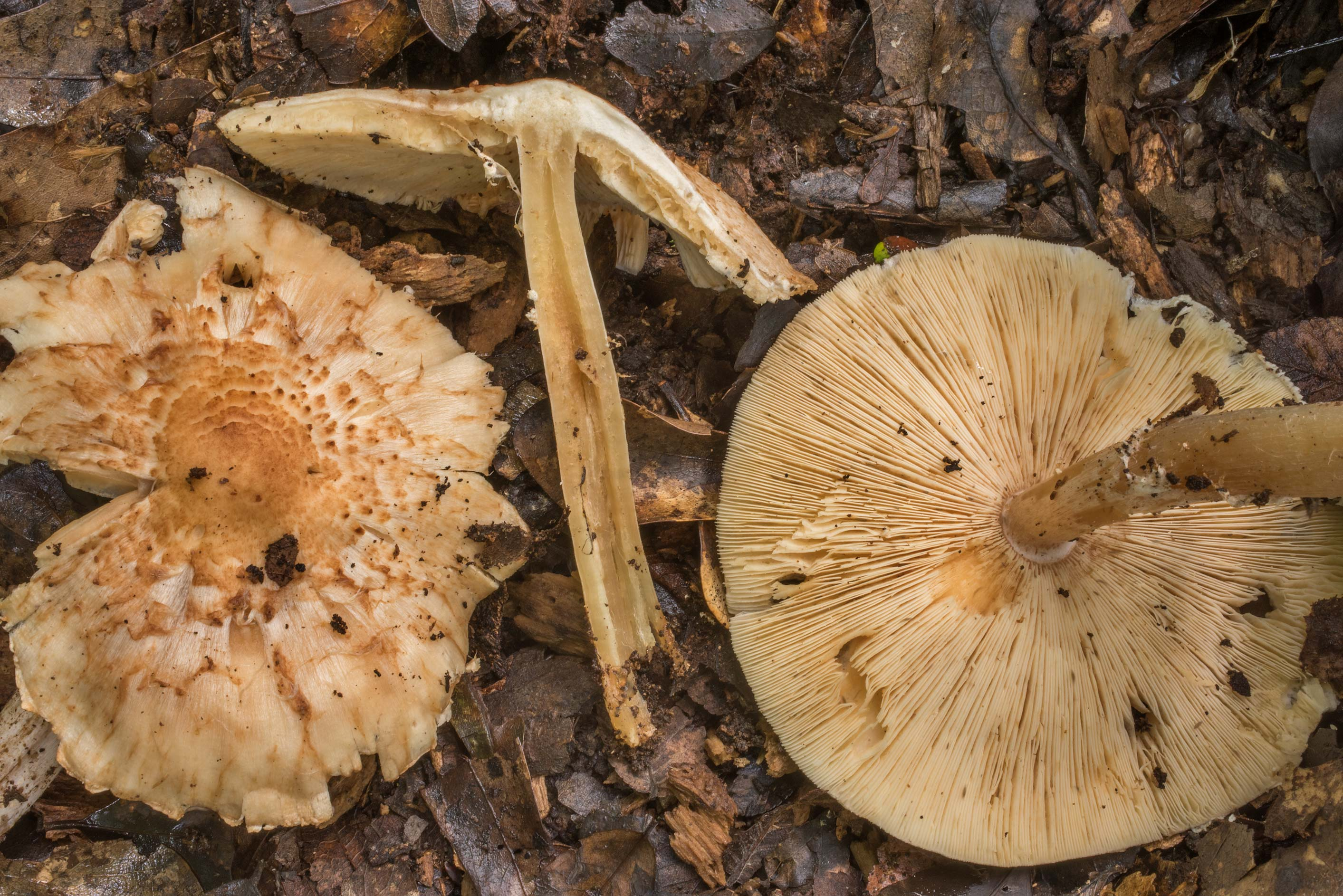 Dissected scaly mushrooms with crowded gills on...Creek Park. College Station, Texas