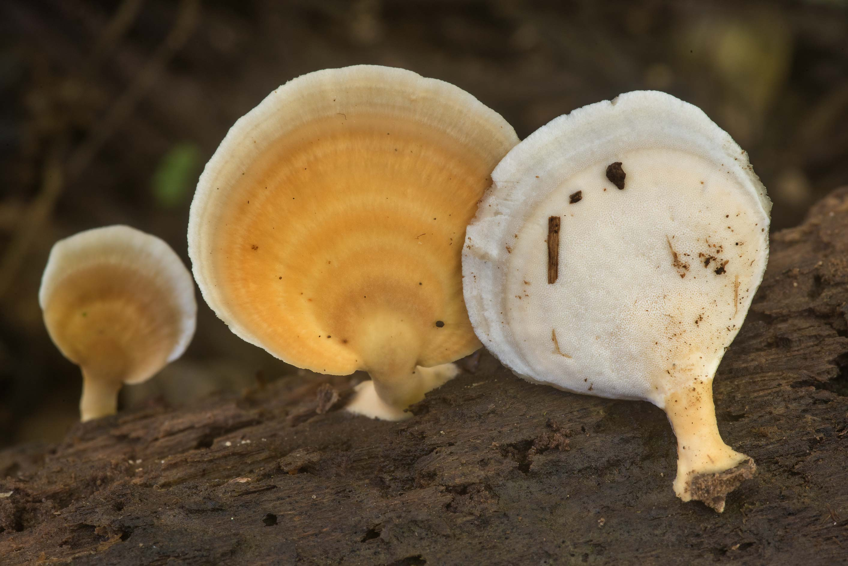 Polypore mushrooms Microporellus obovatus on wet...Creek Park. College Station, Texas