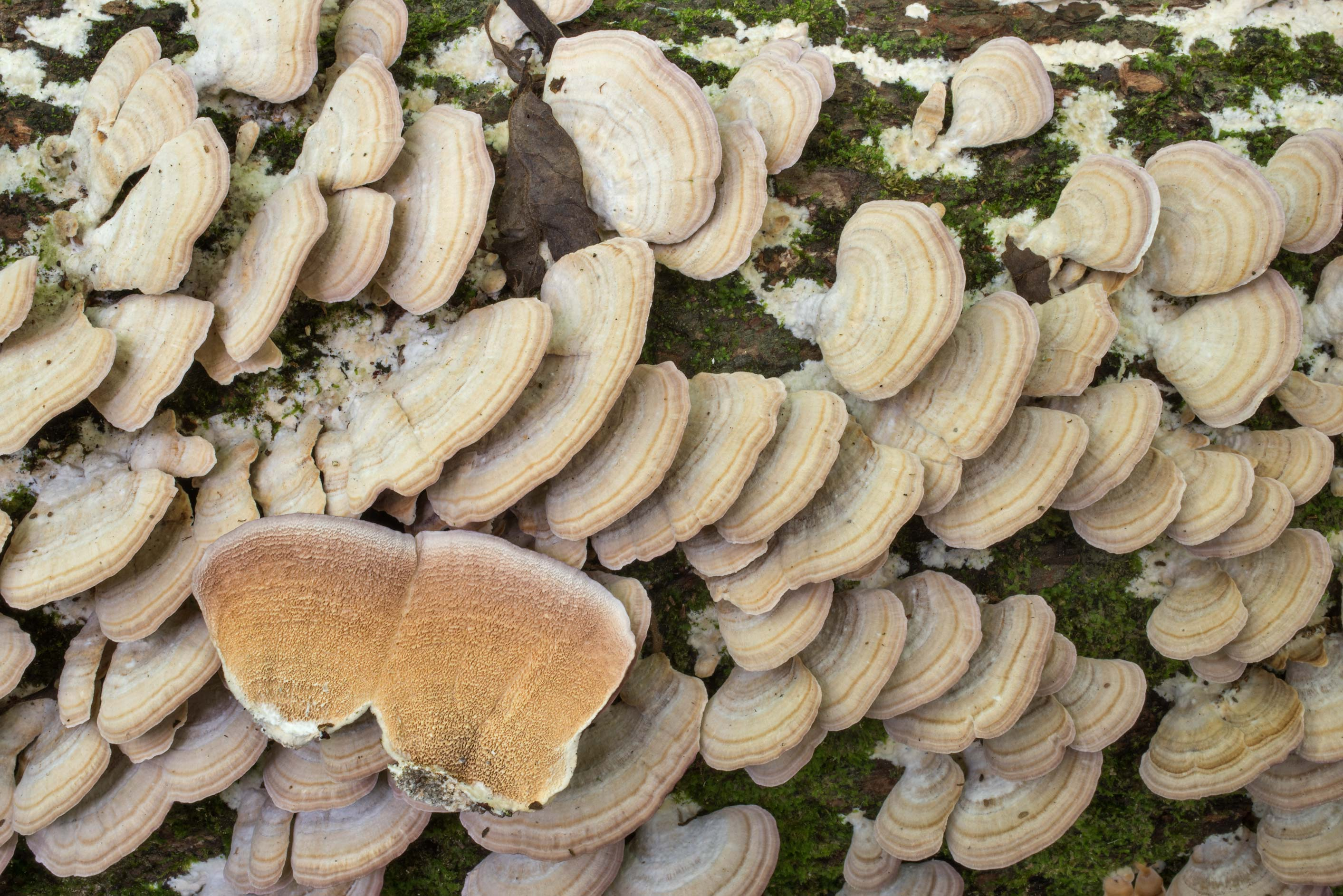 Masses of violet toothed polypore fungus...National Forest. Shepherd, Texas