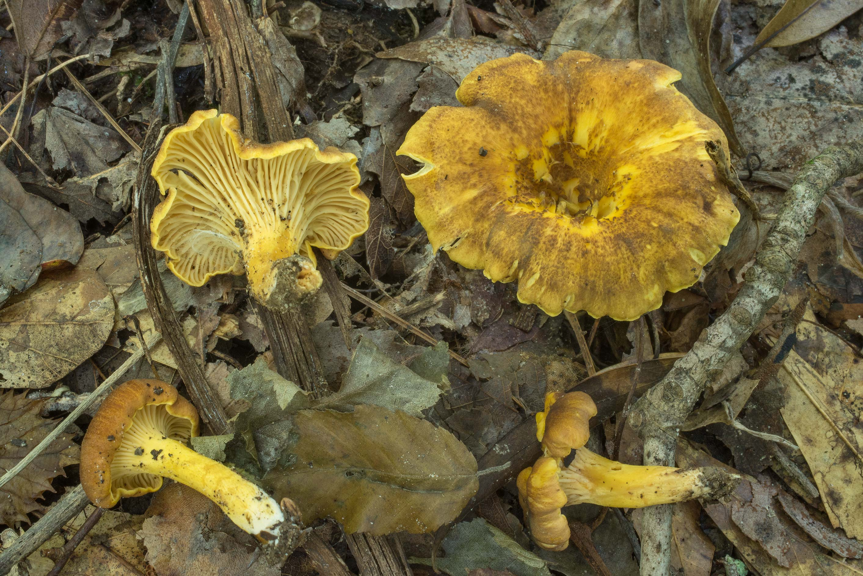 Chanterelle mushrooms Cantharellus appalachiensis...National Forest. Shepherd, Texas