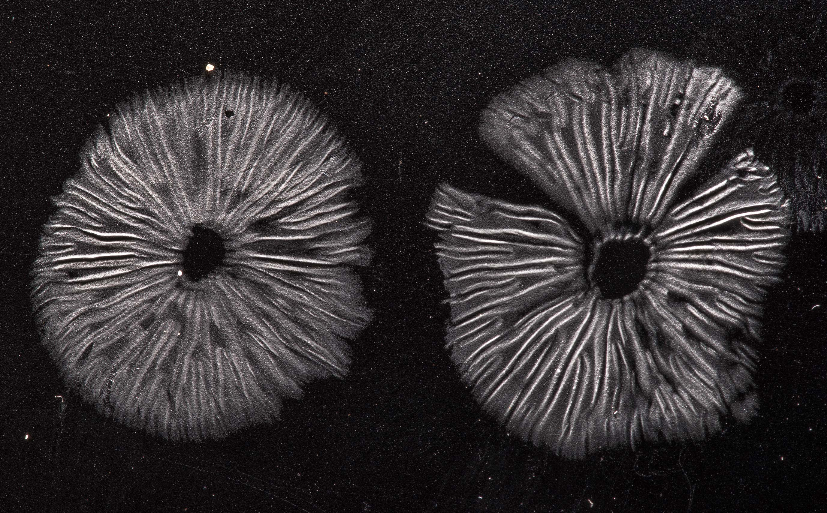 White spore print of small Neohygrocybe or may be...Forest north from Montgomery. Texas