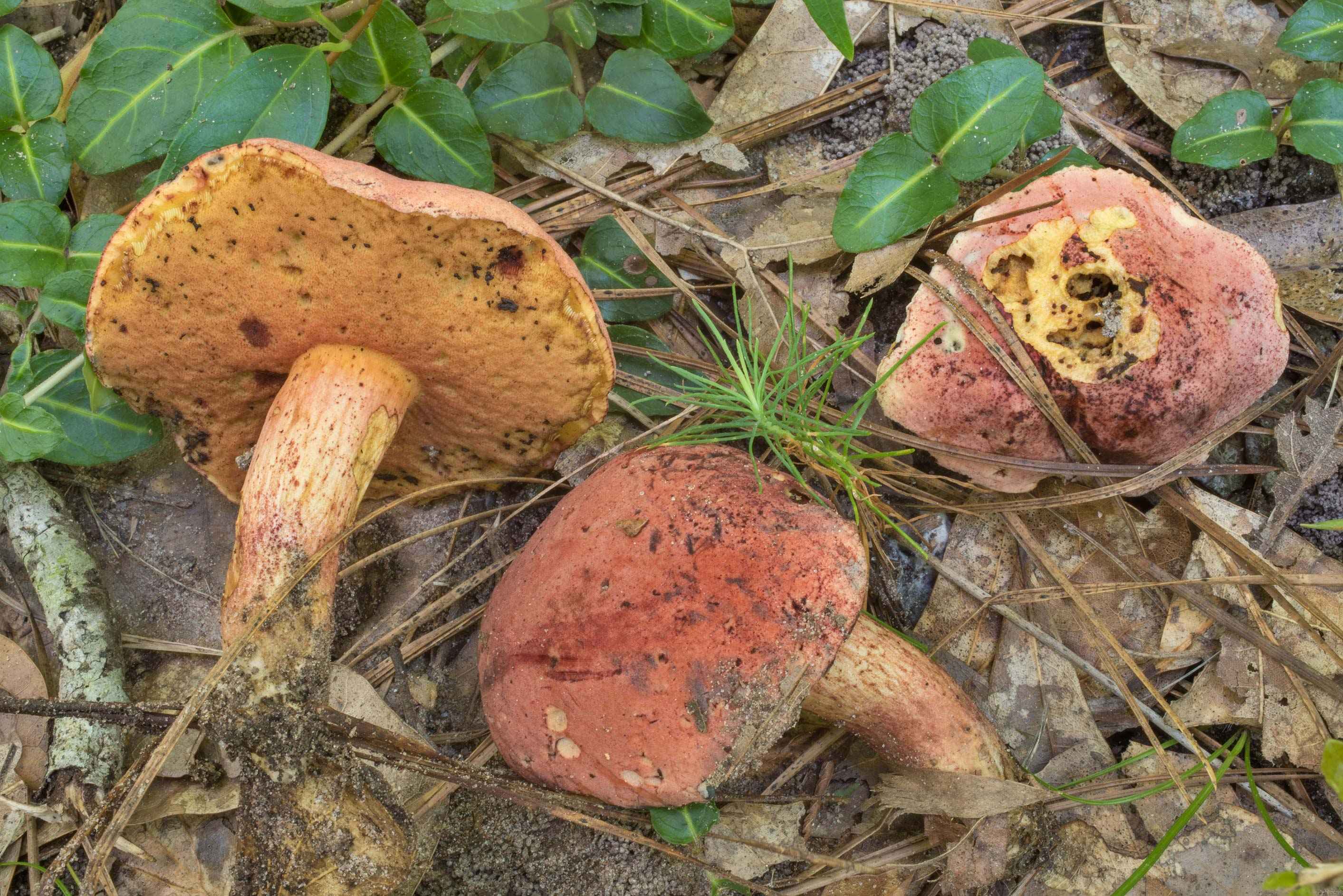 Bolete mushrooms Boletus flammans or may be B...in Sam Houston National Forest. Texas