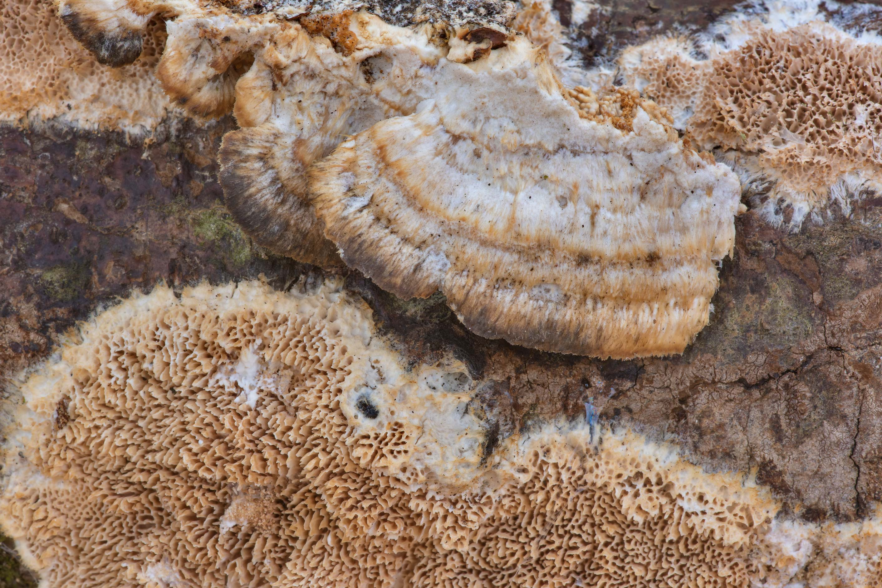 Caps and pore surface of polypore mushroom...Creek Park. College Station, Texas