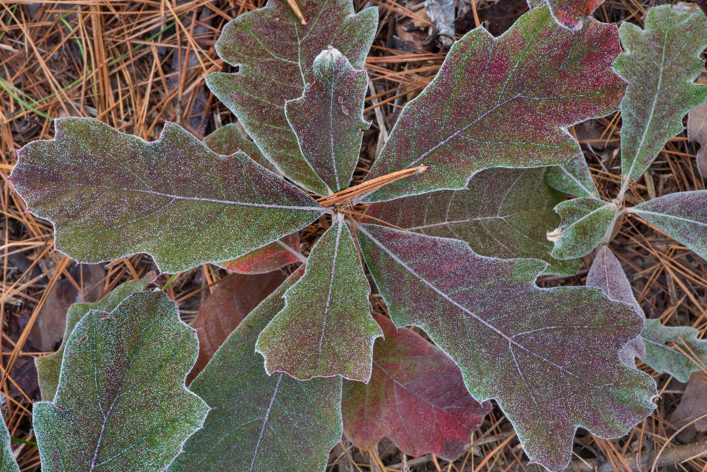 Oak seedlings with morning freeze on Richards...in Sam Houston National Forest. Texas