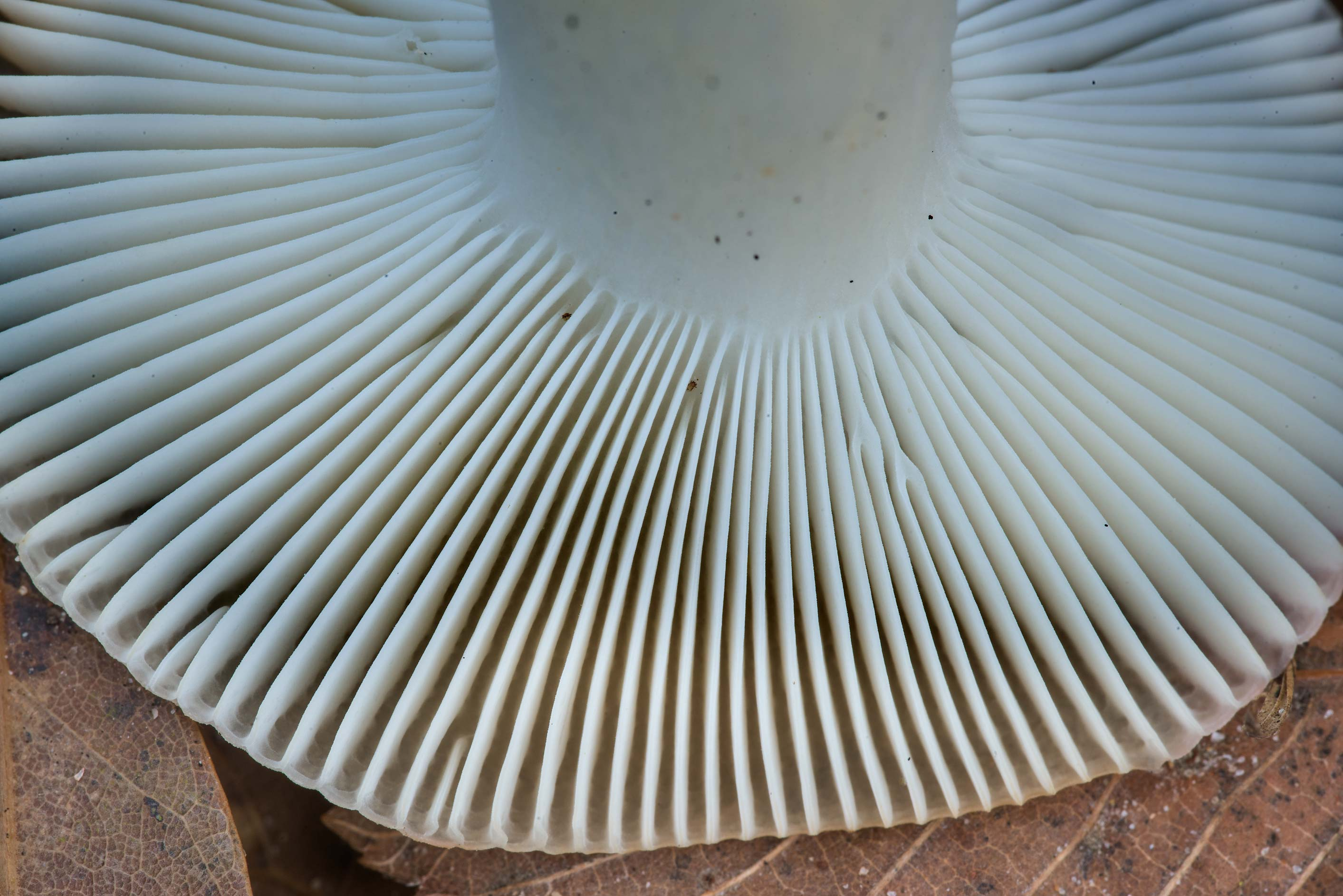 Gills of a pale brittlegill (Russula) mushroom on...in Sam Houston National Forest. Texas